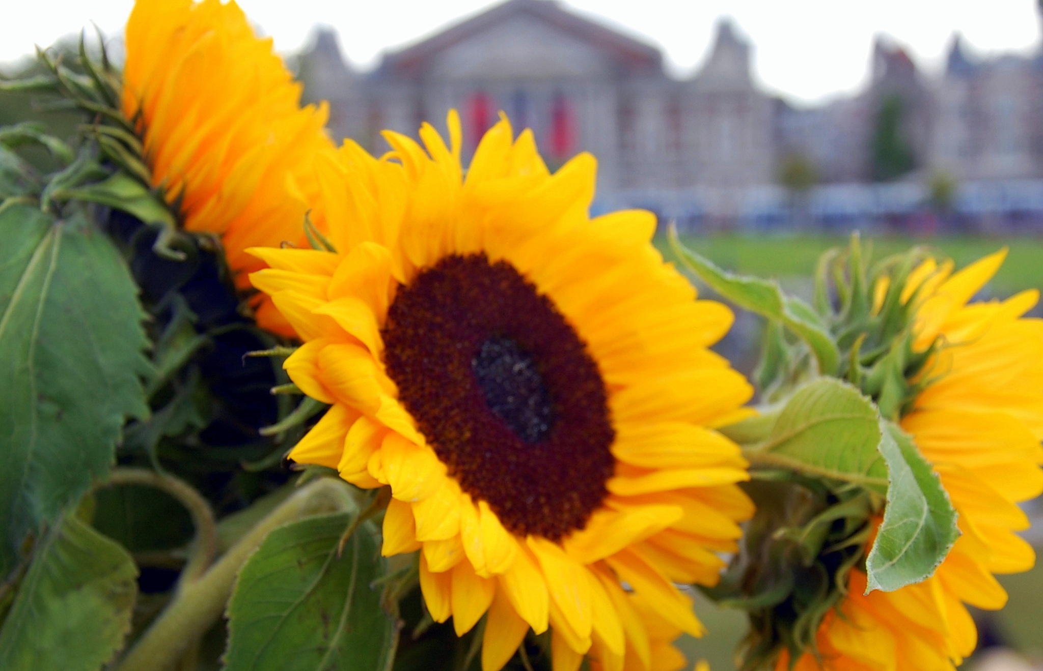 Sunflowers In Amsterdam by goga.dt