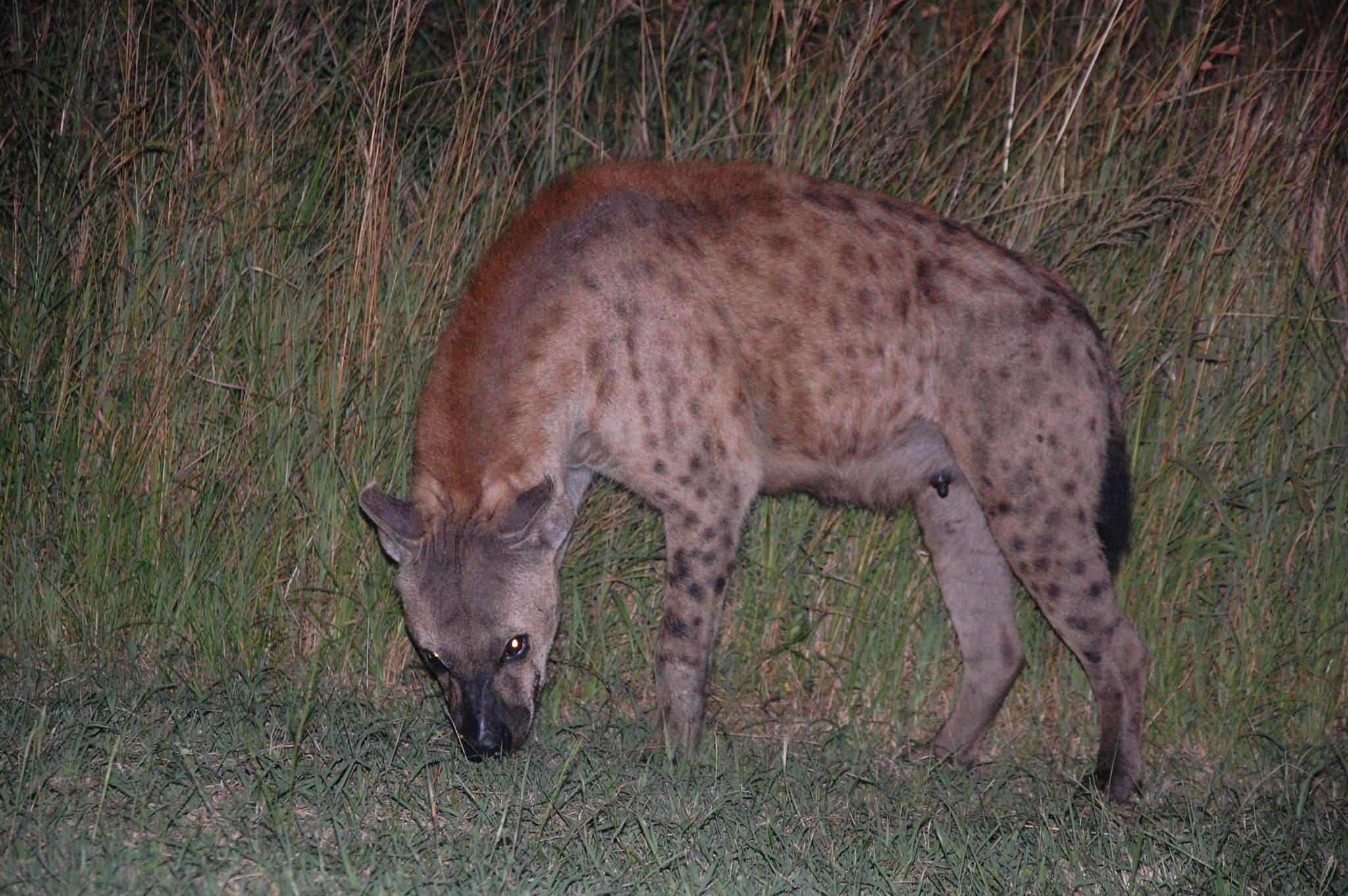 A Walk With Hyena by goga.dt