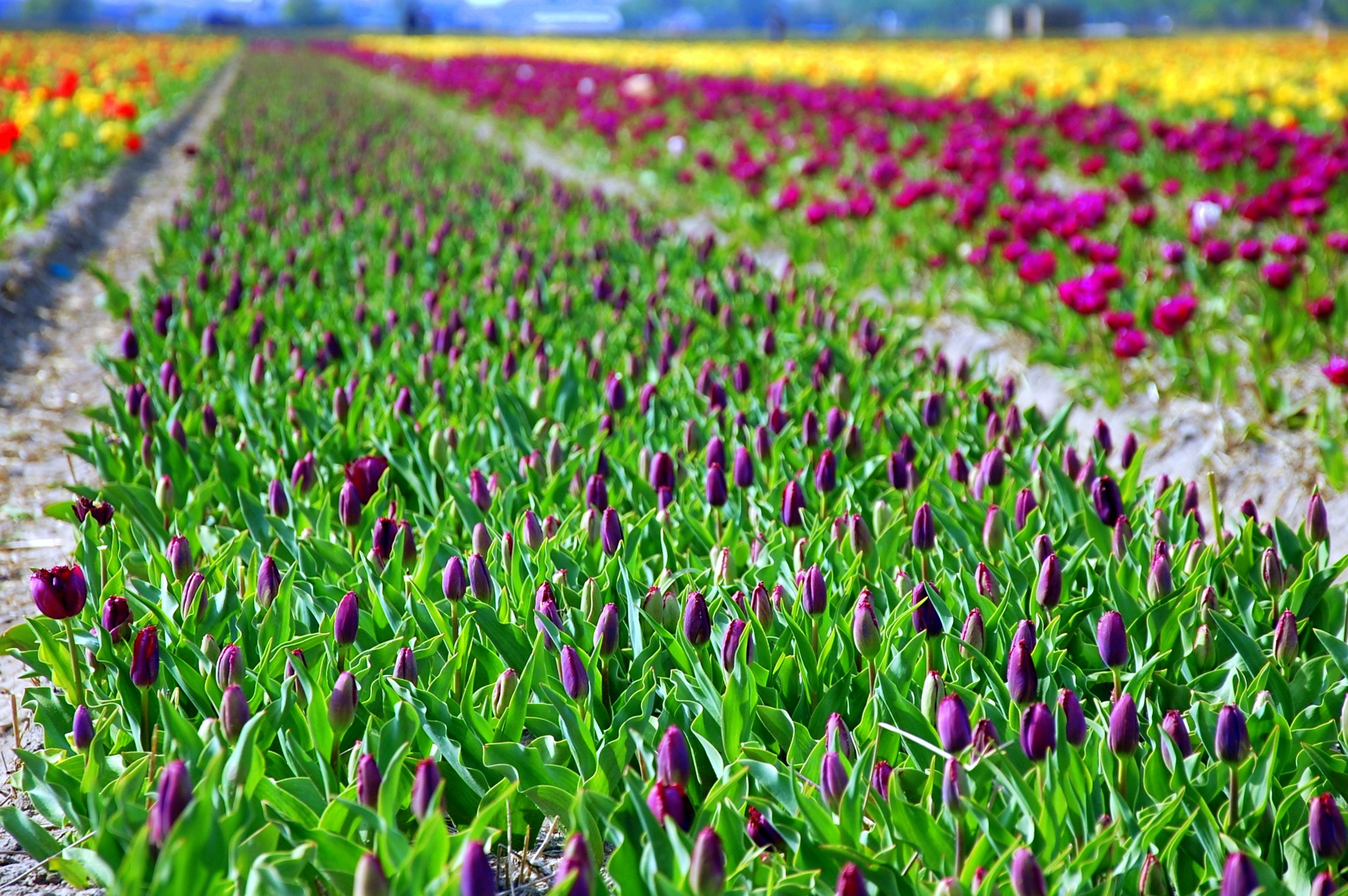 Tulip Buds Field by goga.dt