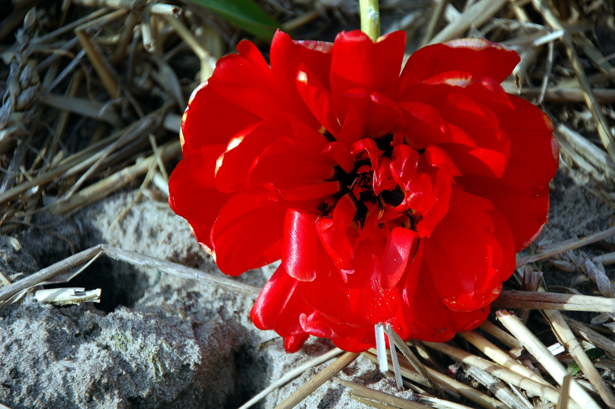 Dame in rood by goga.dt