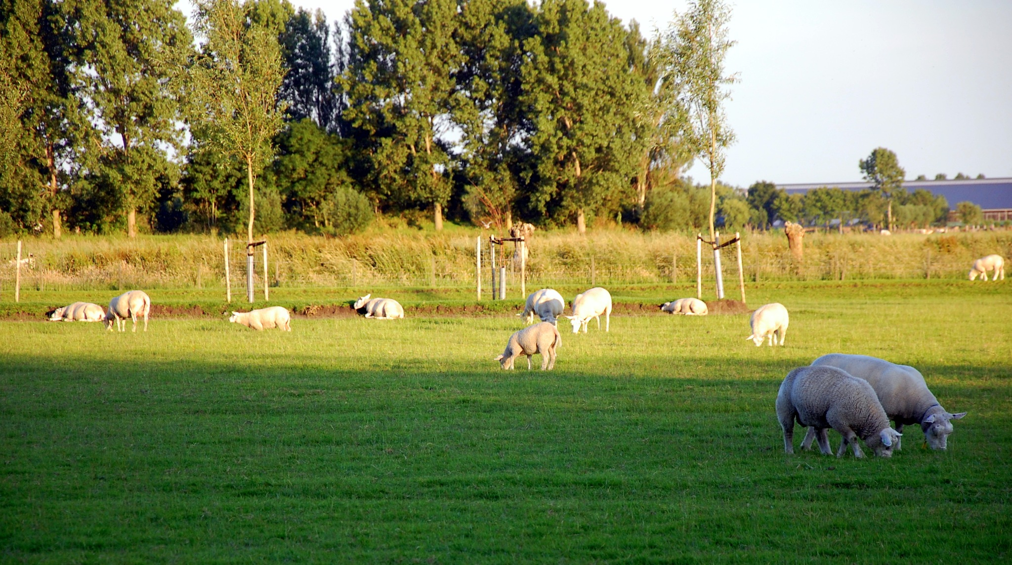 Sheeps In Light And Shade by goga.dt