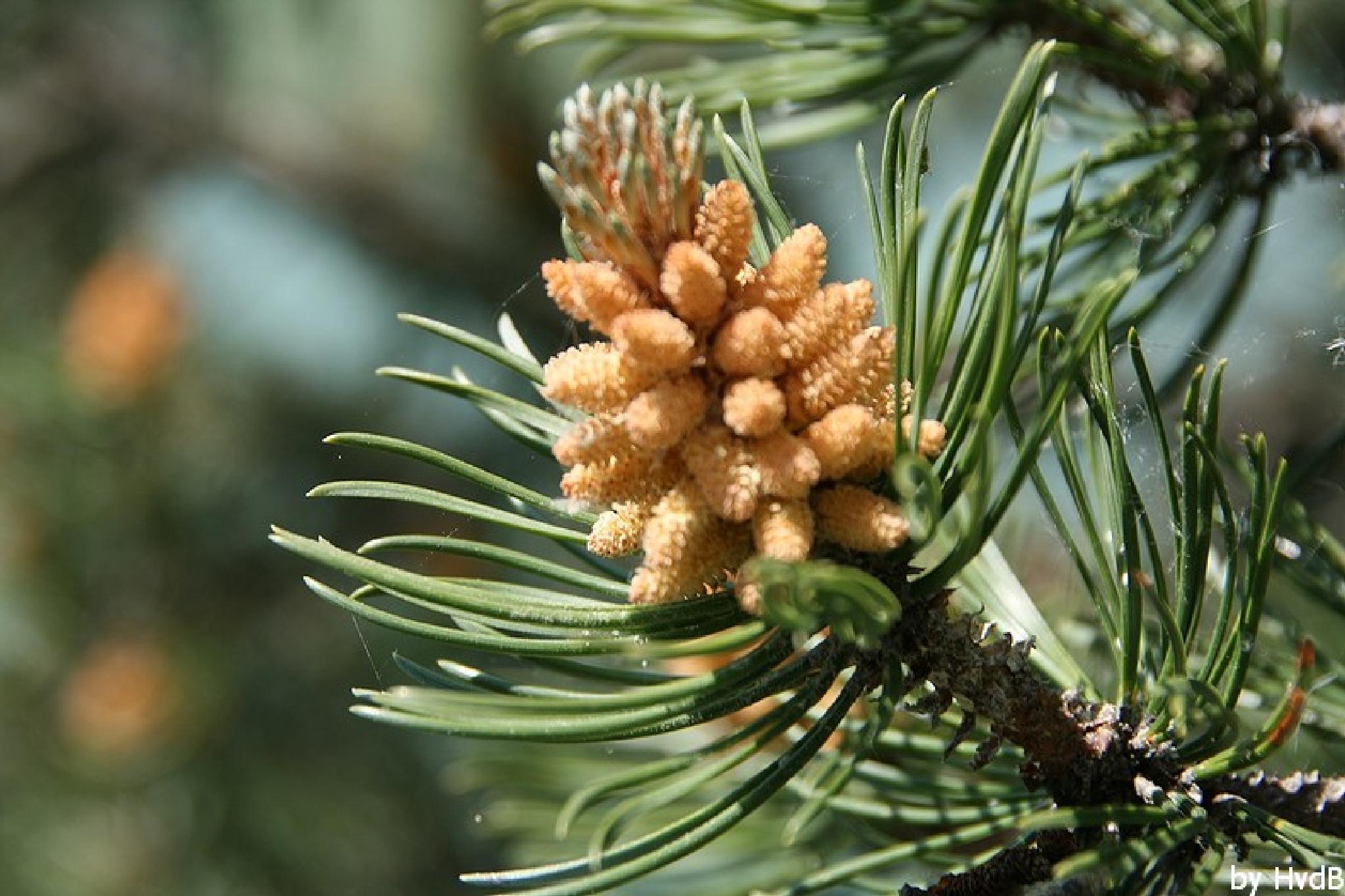 pine cone in Italy? by helen.vandenbroek.9