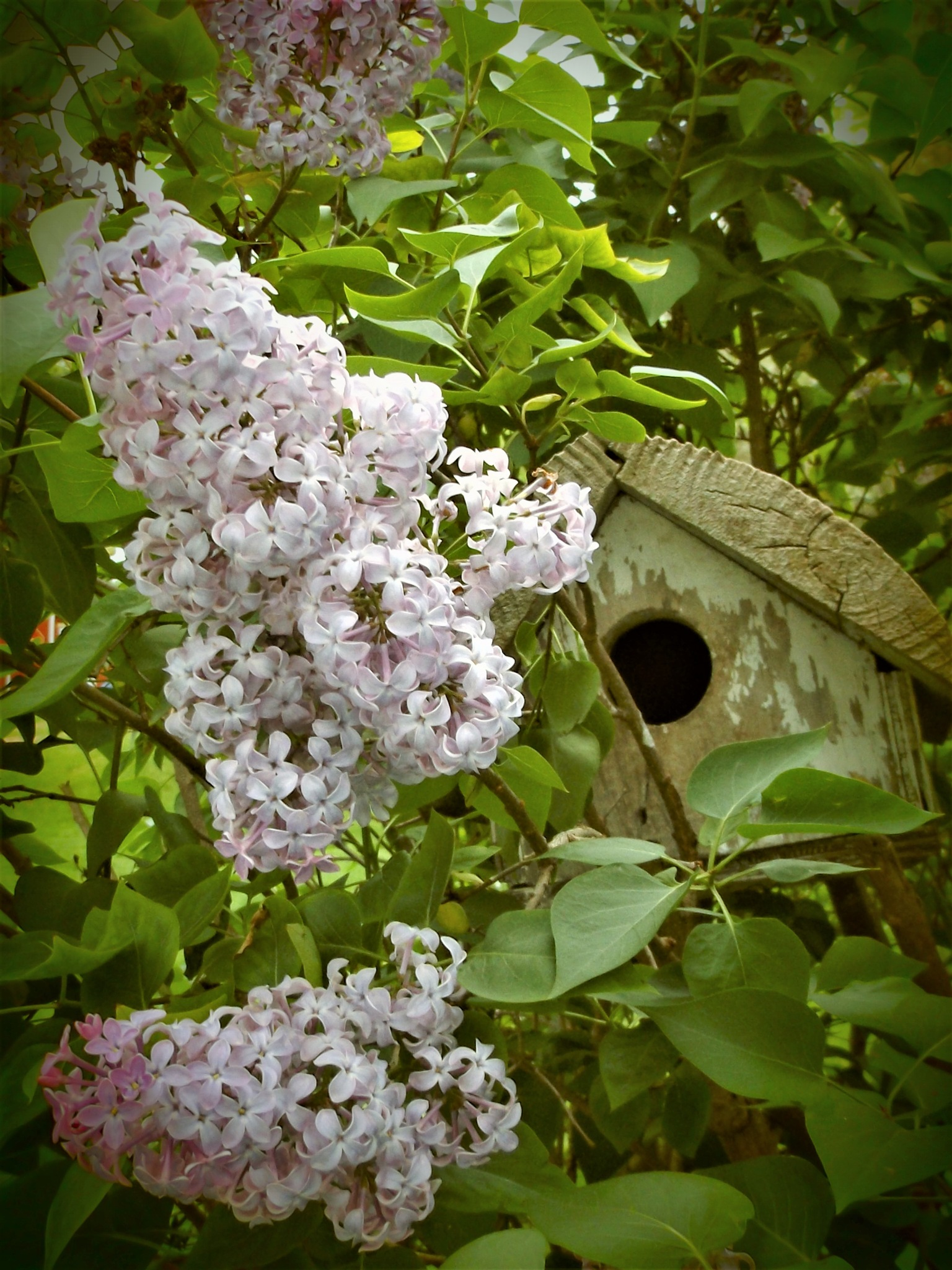 A BIRDHOUSE AND LILACS by Dawn Hoffmeister