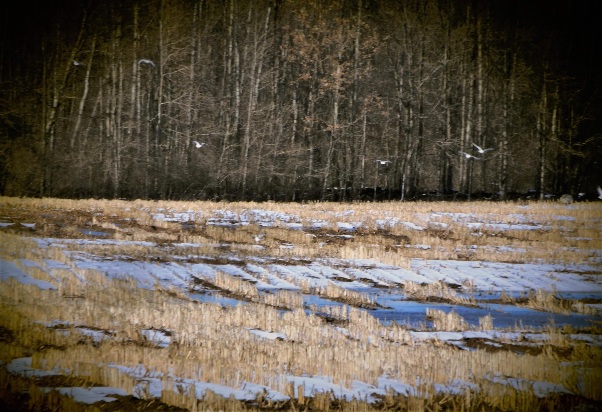 SEAGULLS INLAND by Dawn Hoffmeister