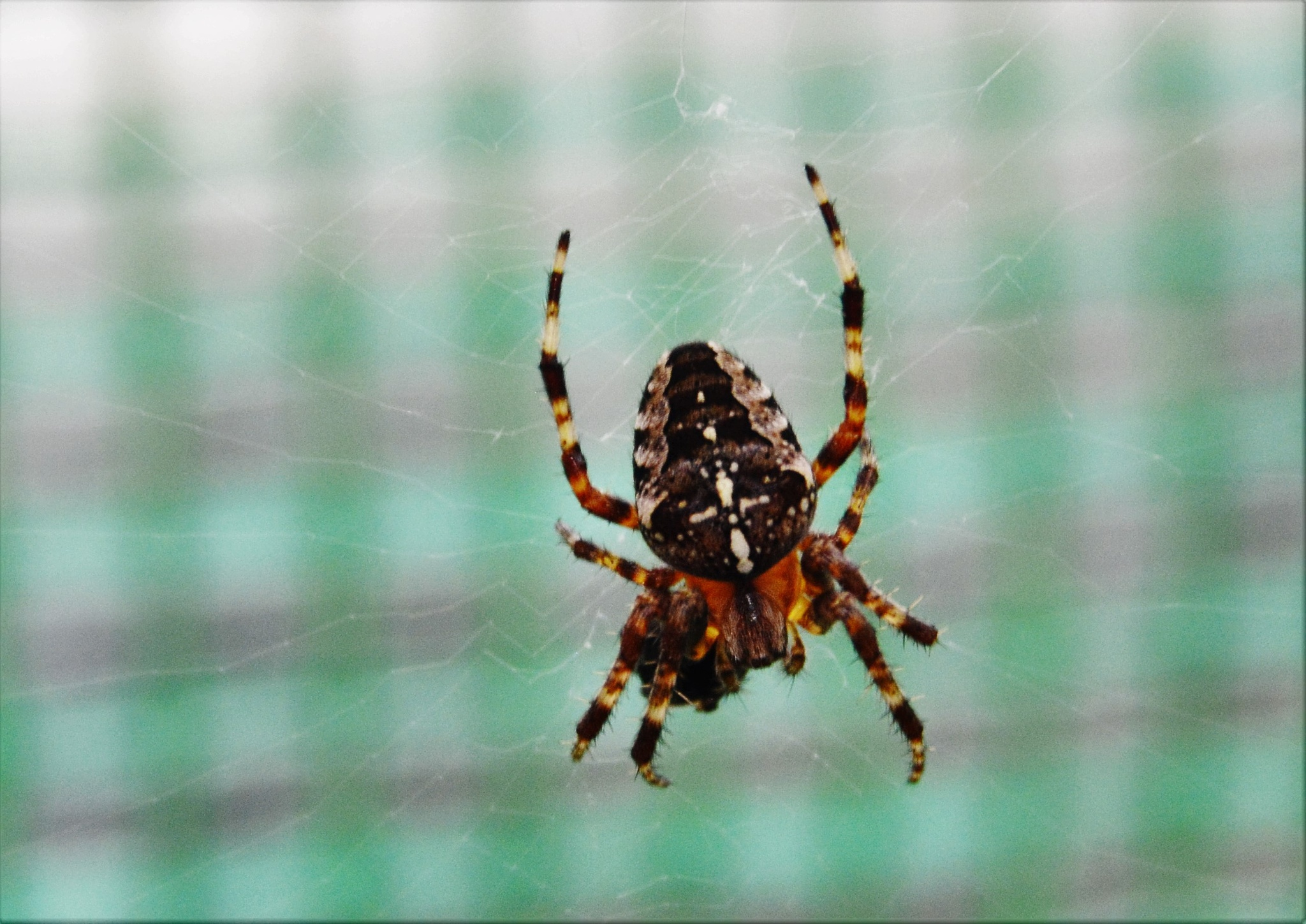 Spider at lunch by Andrew Longhurst