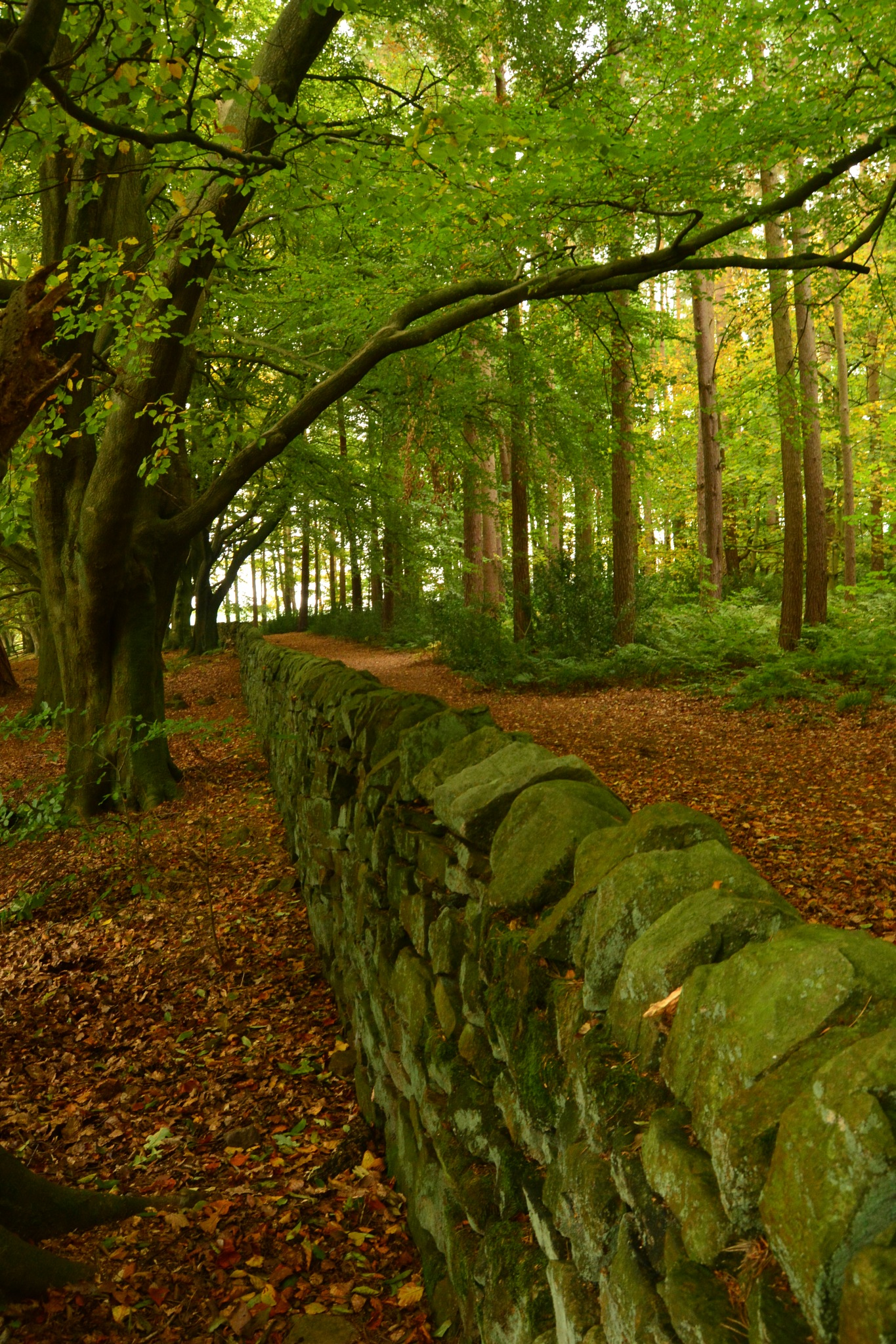 Dry Stone wall in the Wood in Autumn. by Andrew Longhurst