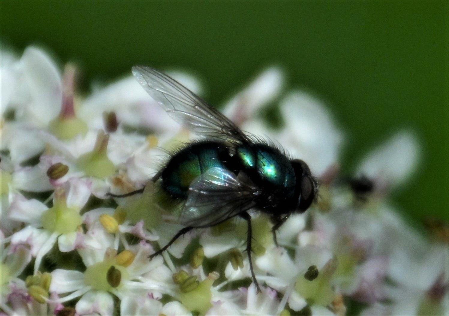 Green Bottle Fly by Andrew Longhurst