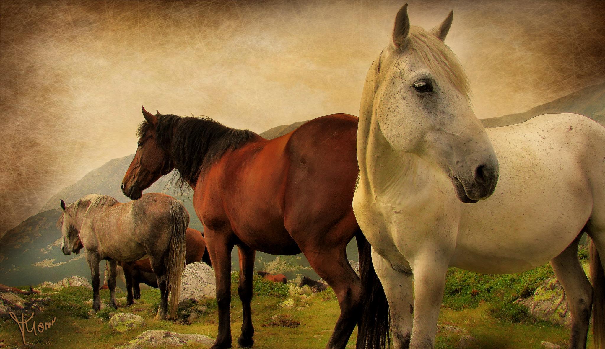 Wild horses in Retezat Mountains by Tudor Morar Visual Factory