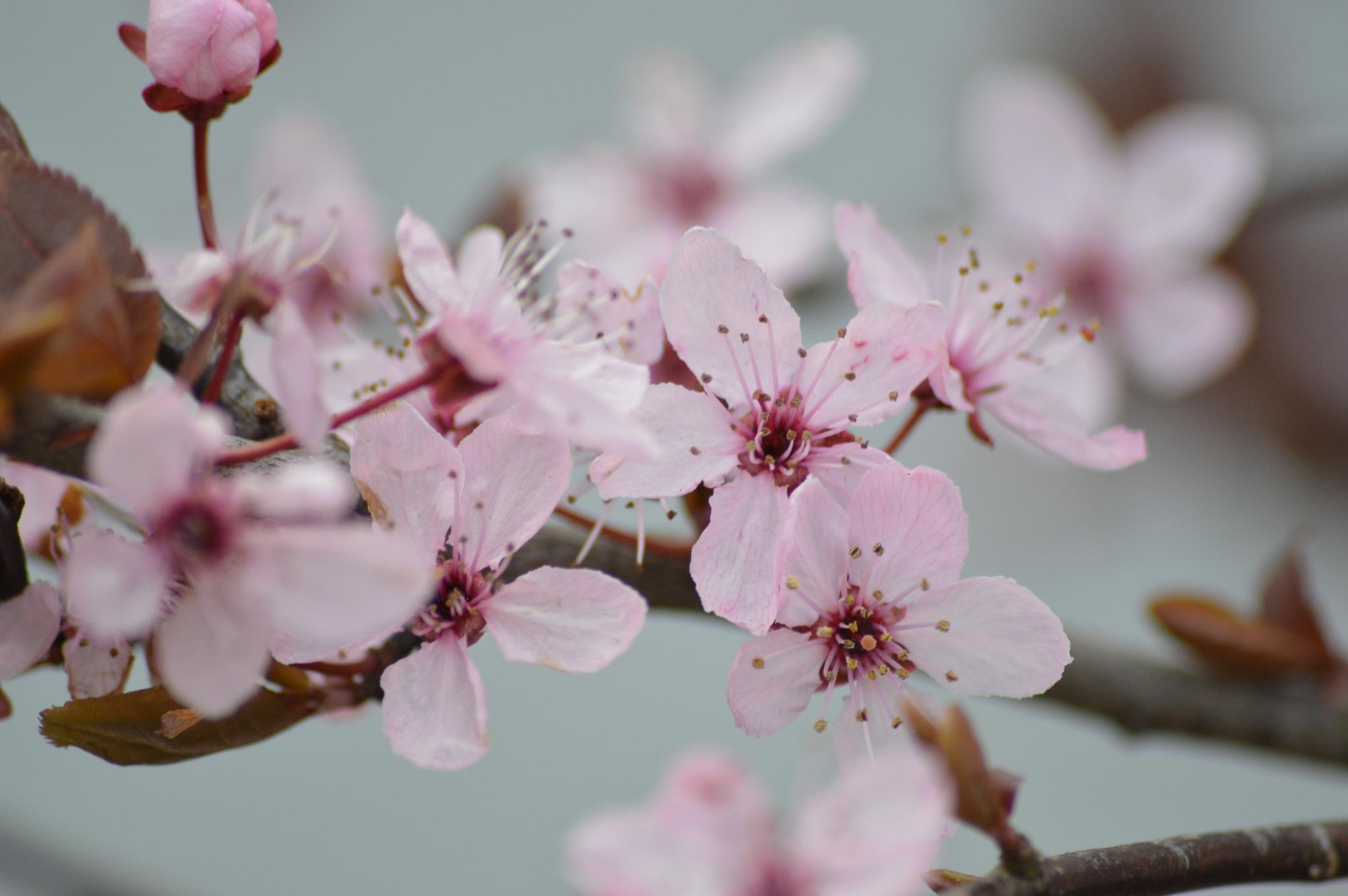 Easter blossom by PhilAspinall