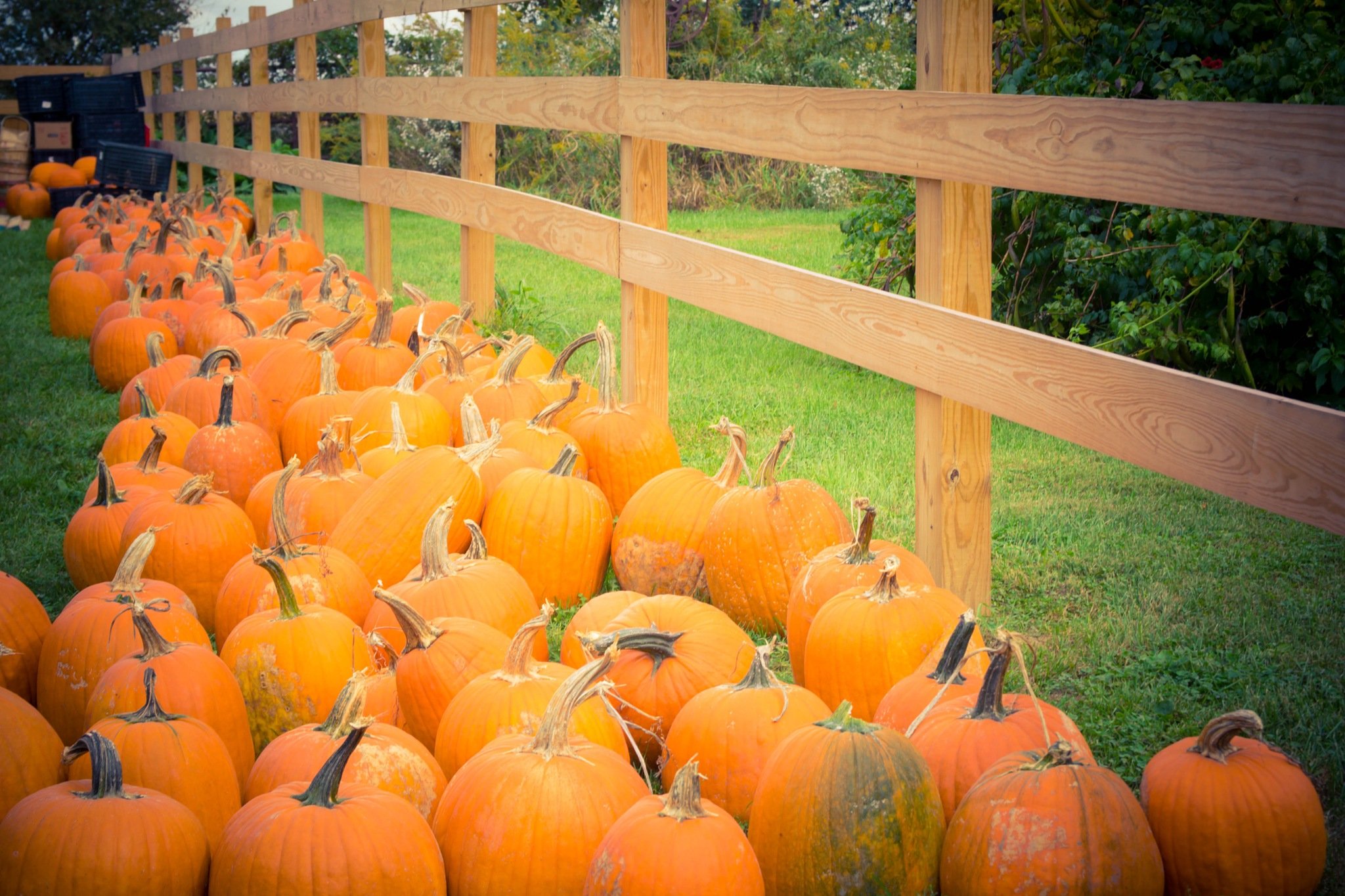 Pumpkins Pumpkins by MissyP87