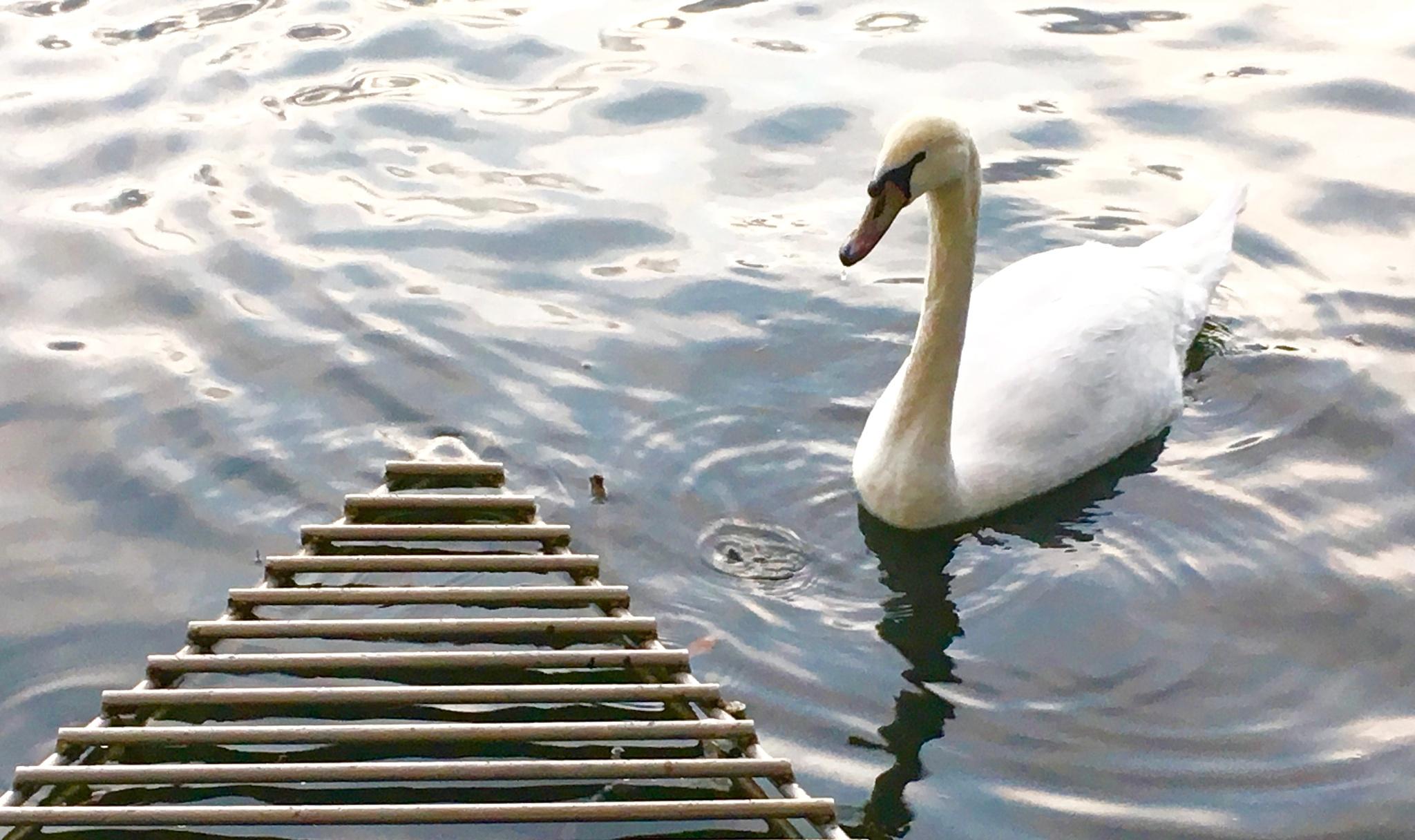 Swan City by SusanneVOxild