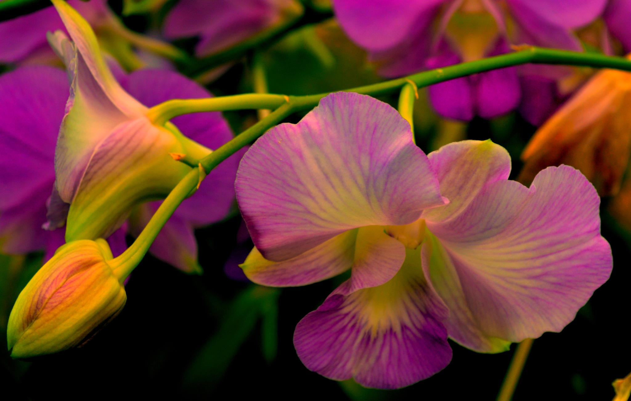 Orchid by wilson.dsouza.7161953