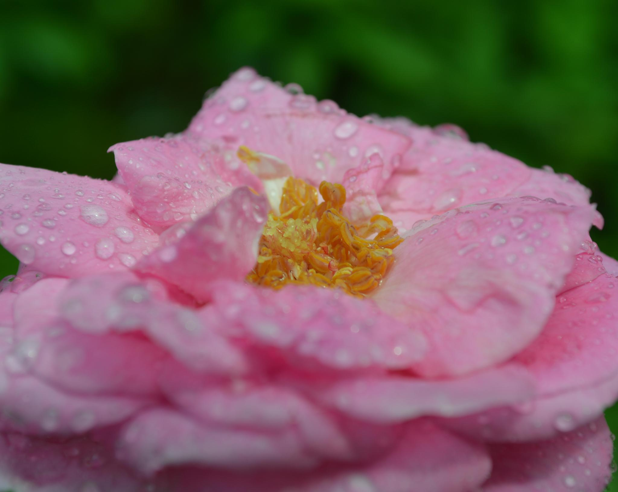 Dew Drops on Rose by wilson.dsouza.7161953
