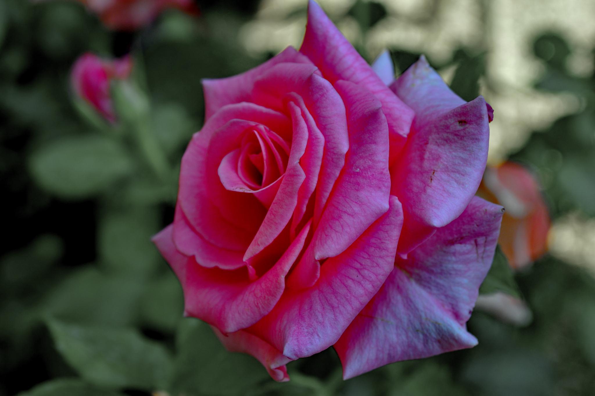 Rose in My Garden by wilson.dsouza.7161953