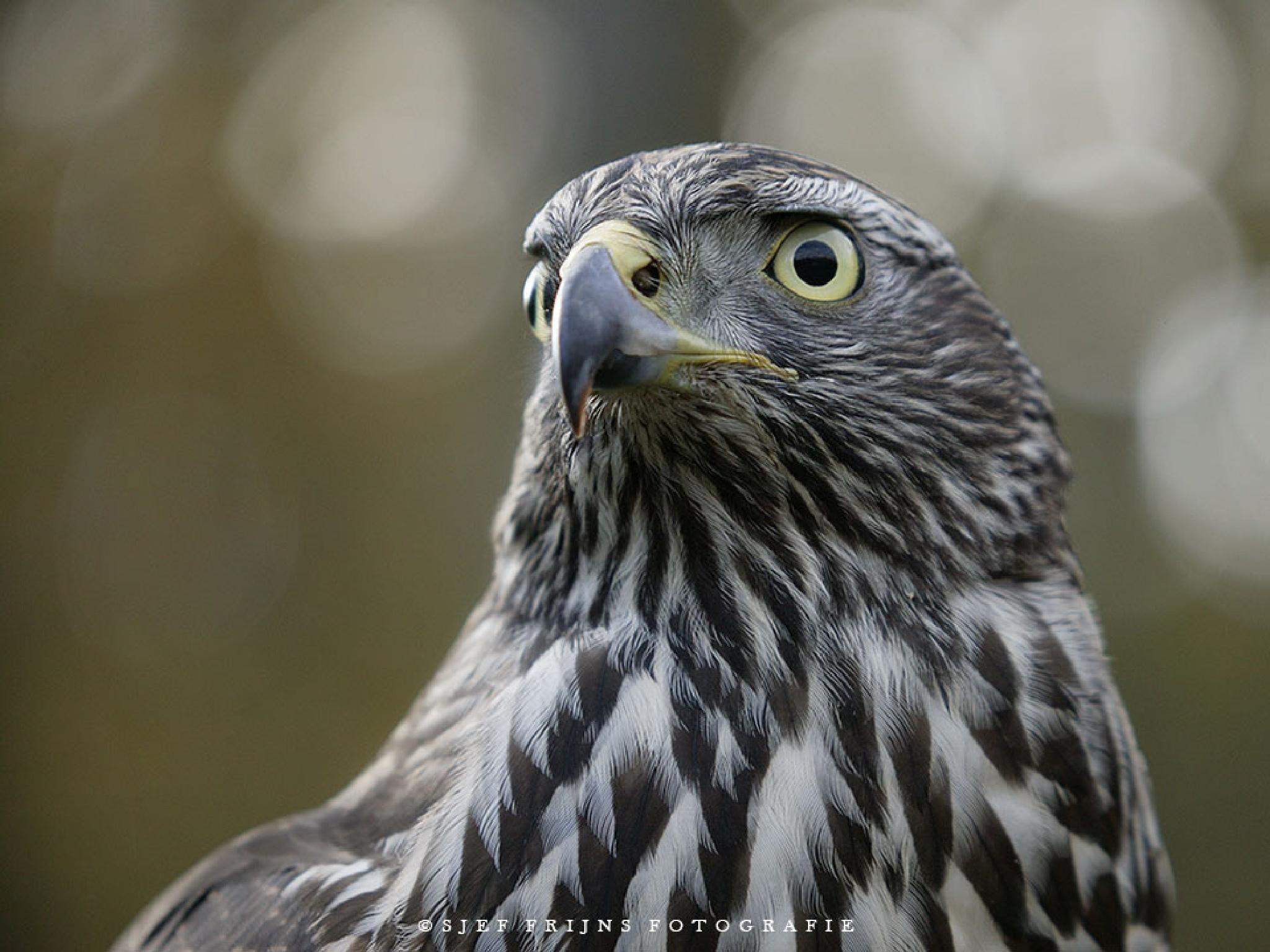 Finnish Hawk by sjef.frijns