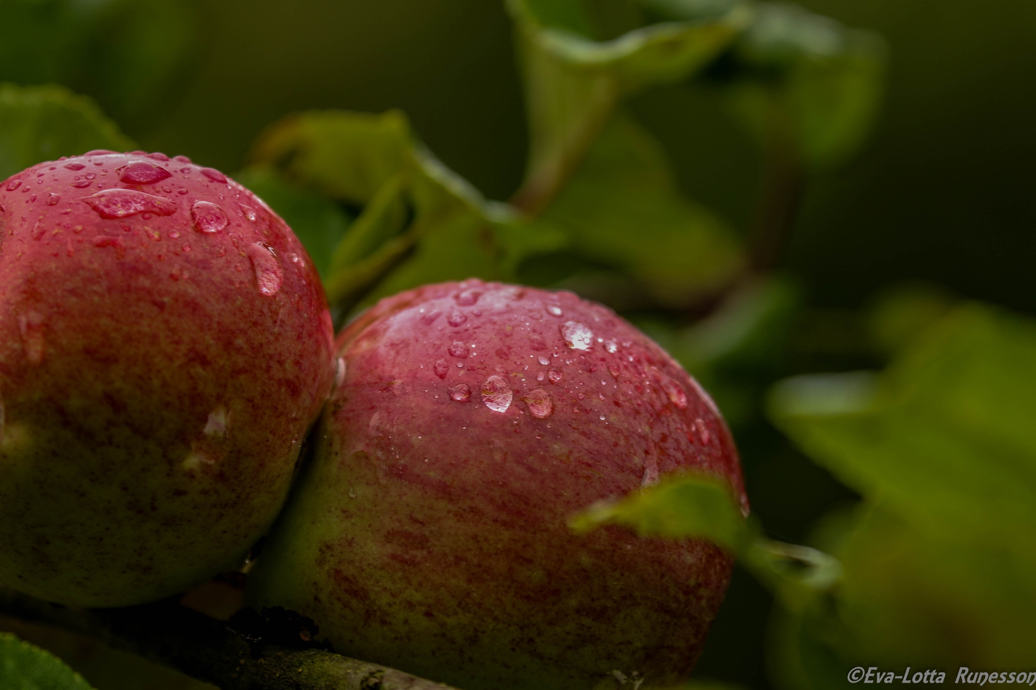 apples from our garden by Runesson