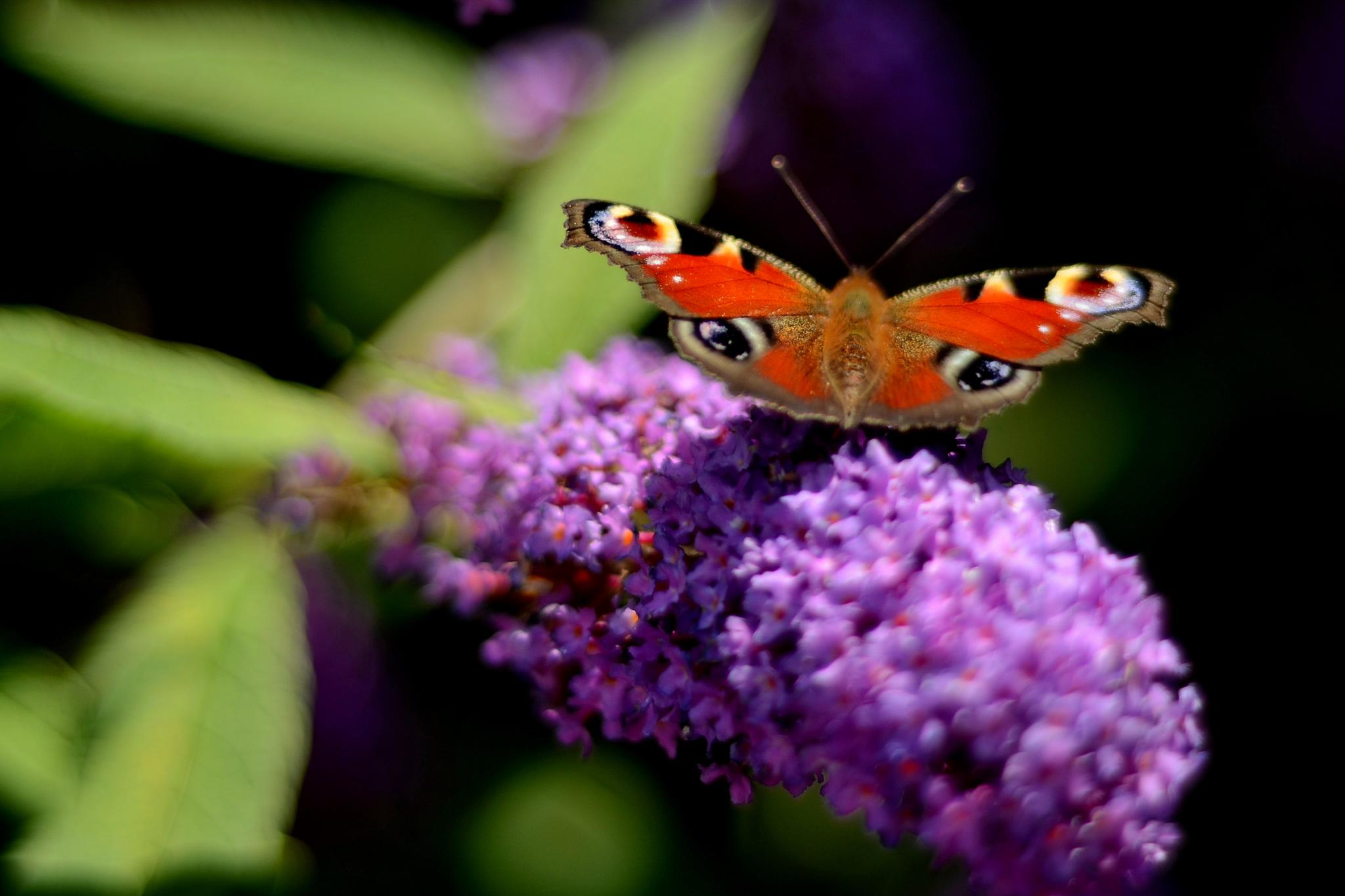 Butterfly on flower by Rick.Engbers.5