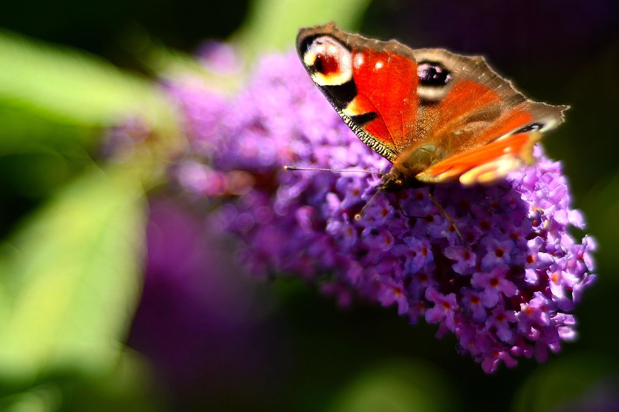 peacock butterfly by Rick.Engbers.5