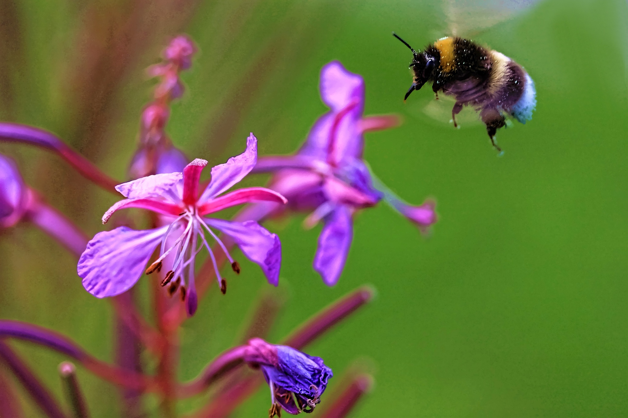 The Humble Bee by sten.westling2