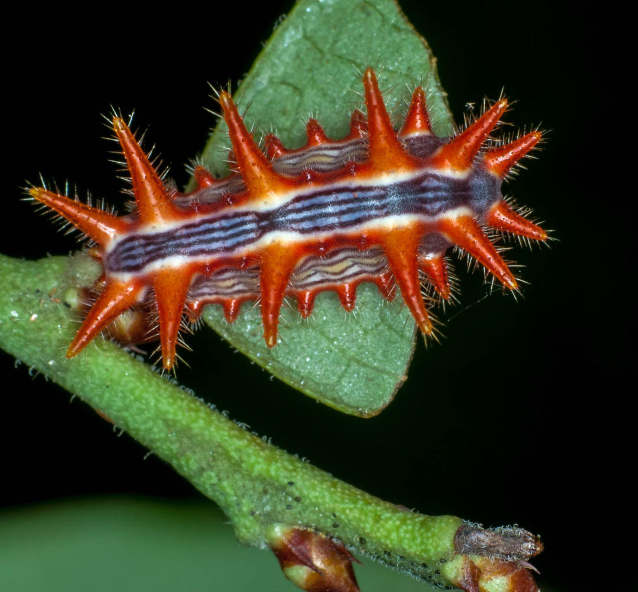 Stinging rose slug caterpillar - Parasa indetermina by ScreaminScott
