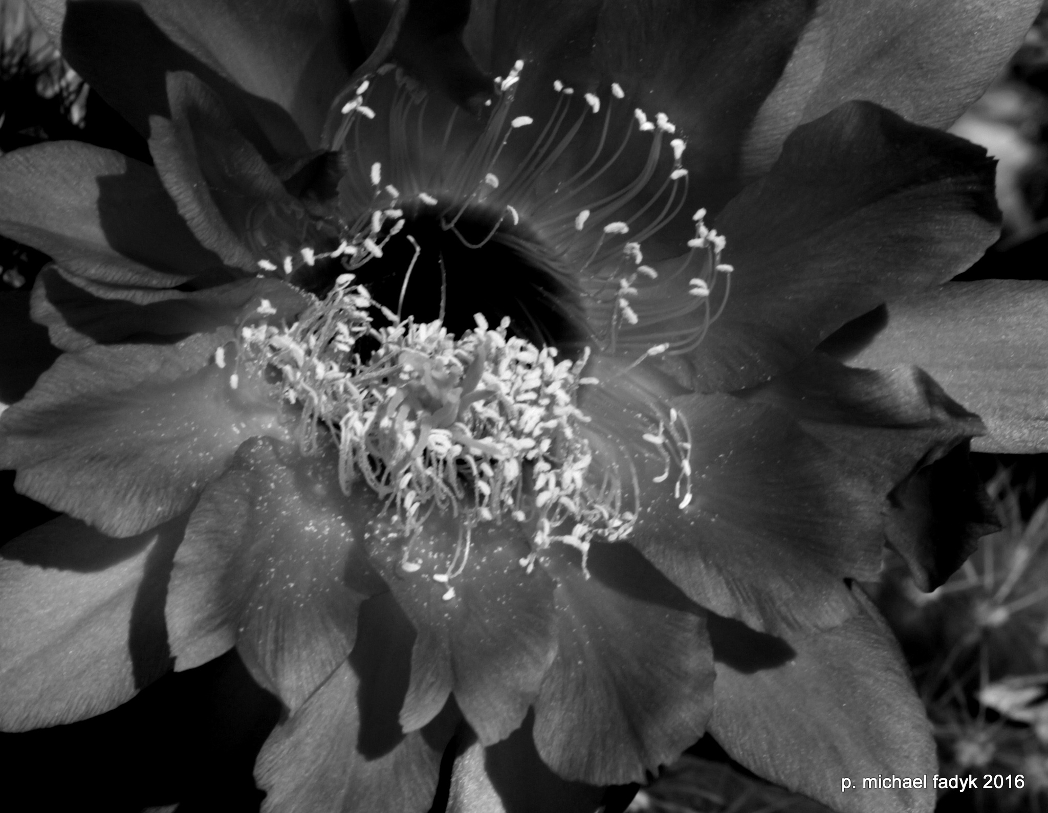 Photo in Black and White #flowers #cactus flowers #nature #still life #black & white #close up #macro #photography