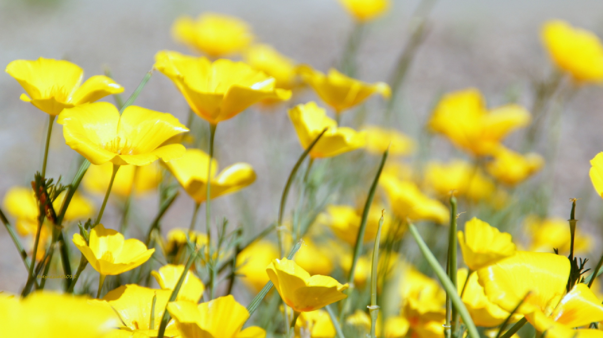 yellow poppies by P. Michael Fadyk