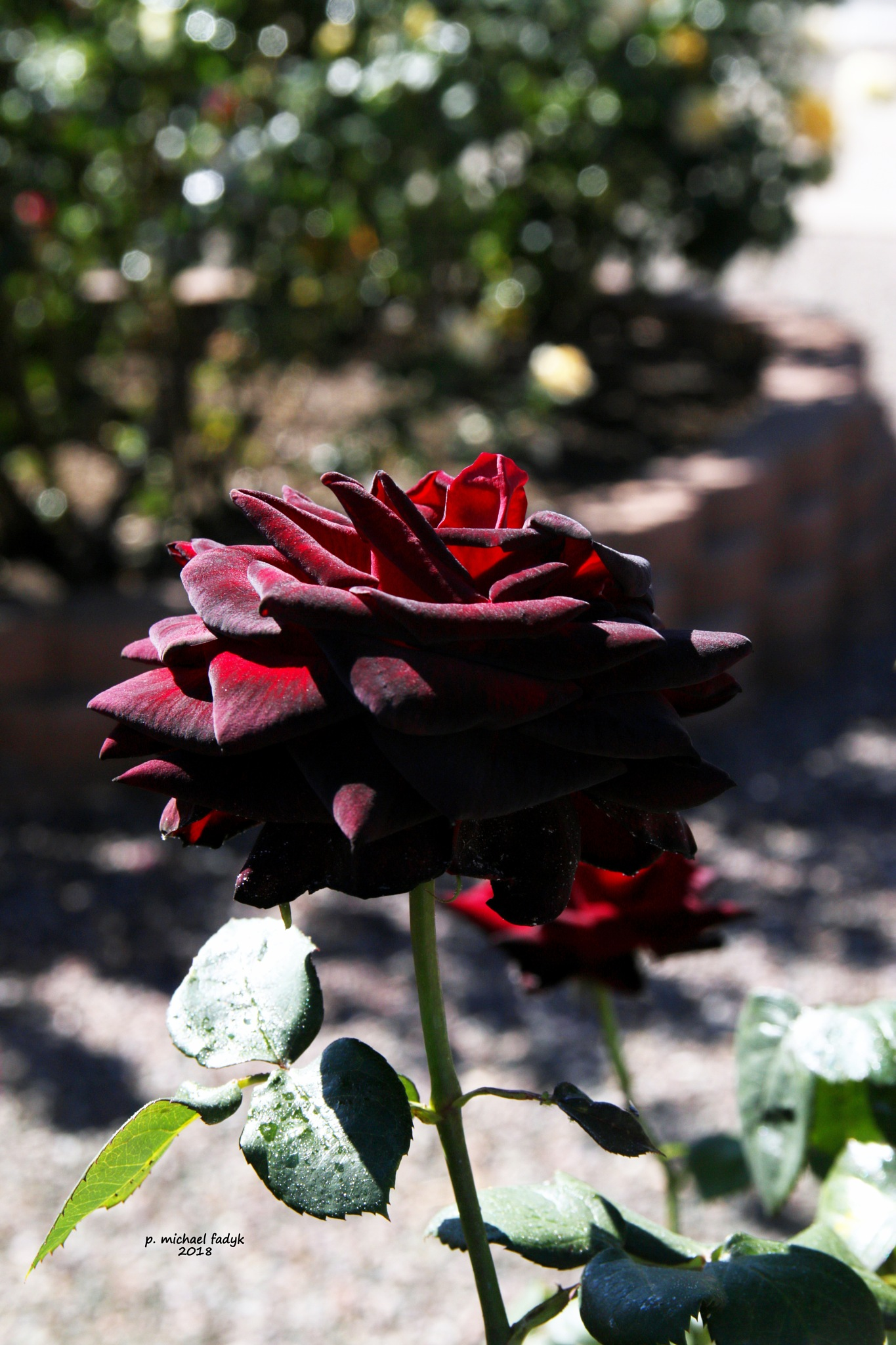 red rose 2 by P. Michael Fadyk