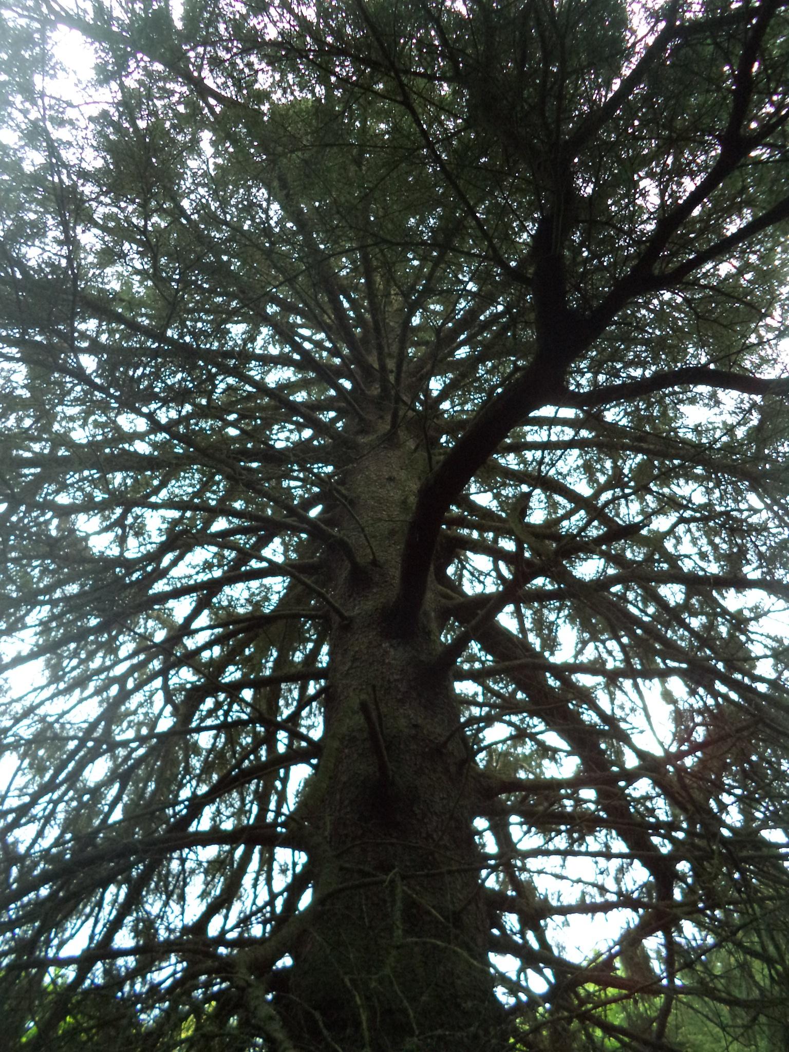 Epic Tree #thebiggestIeverseen by Carlo McNicholl