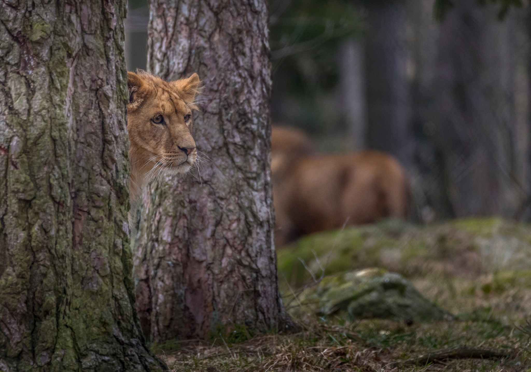 The Lion by Kim Jonsson