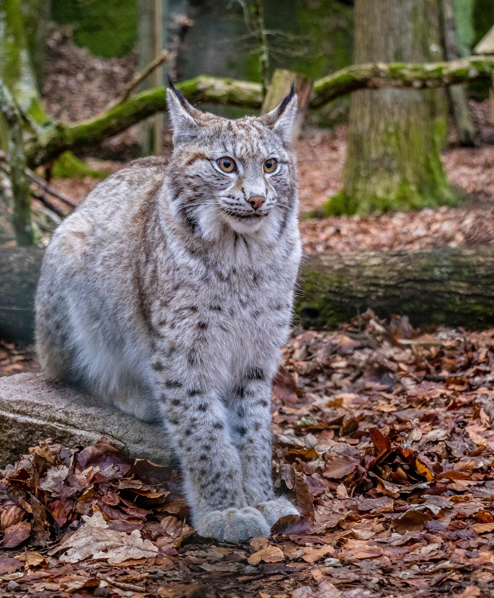 The Lynx by Kim Jonsson