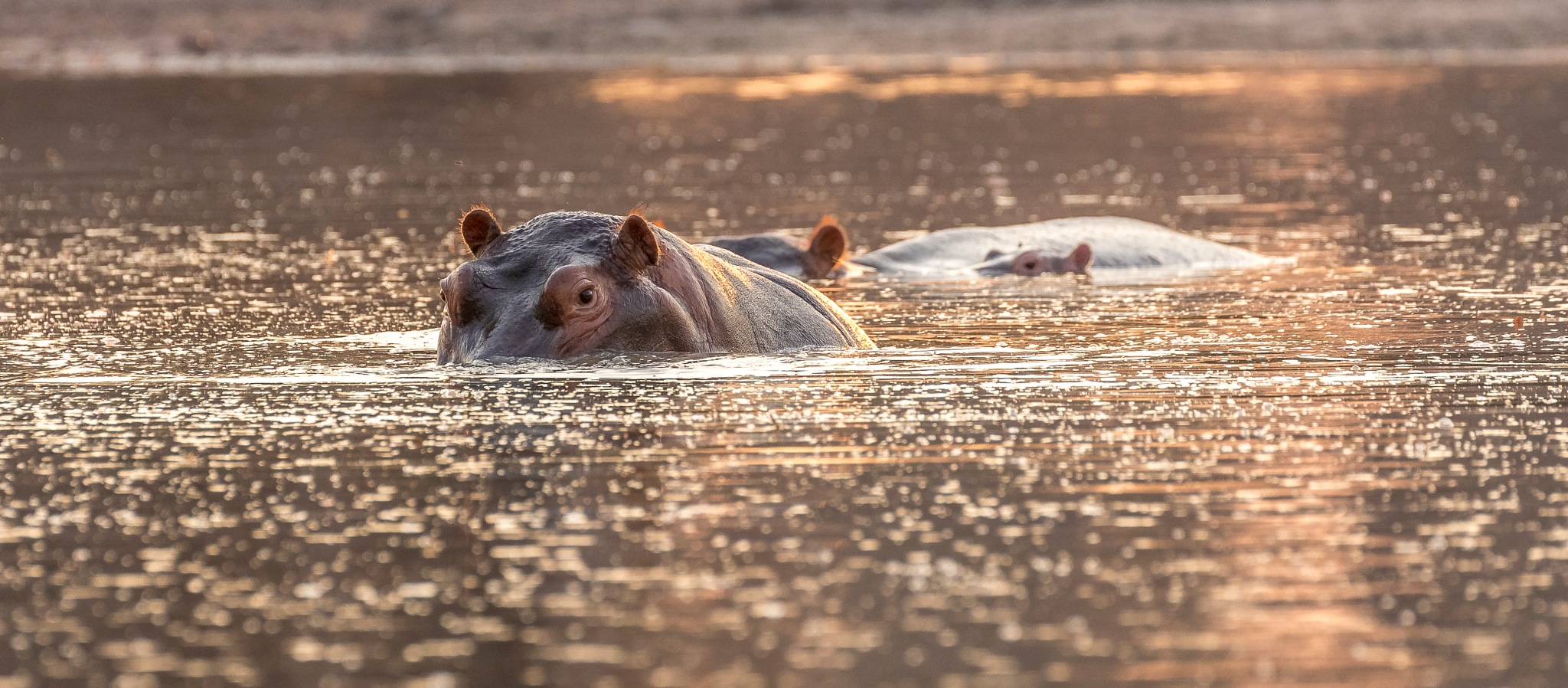 Photo in Animal #zimbabwe #mana pools national park #safari #wildlife #nature #animal #hippo #sunset