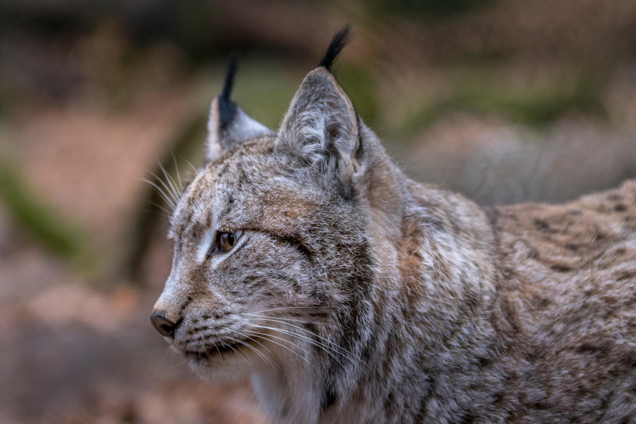 Mr Lynx by Kim Jonsson