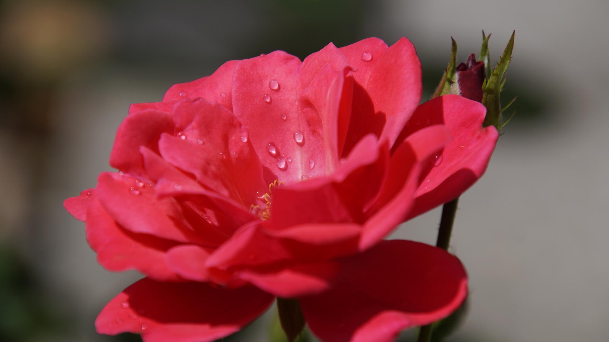 Regentropfen auf Rosenblüte 2 by Michael Kraemer