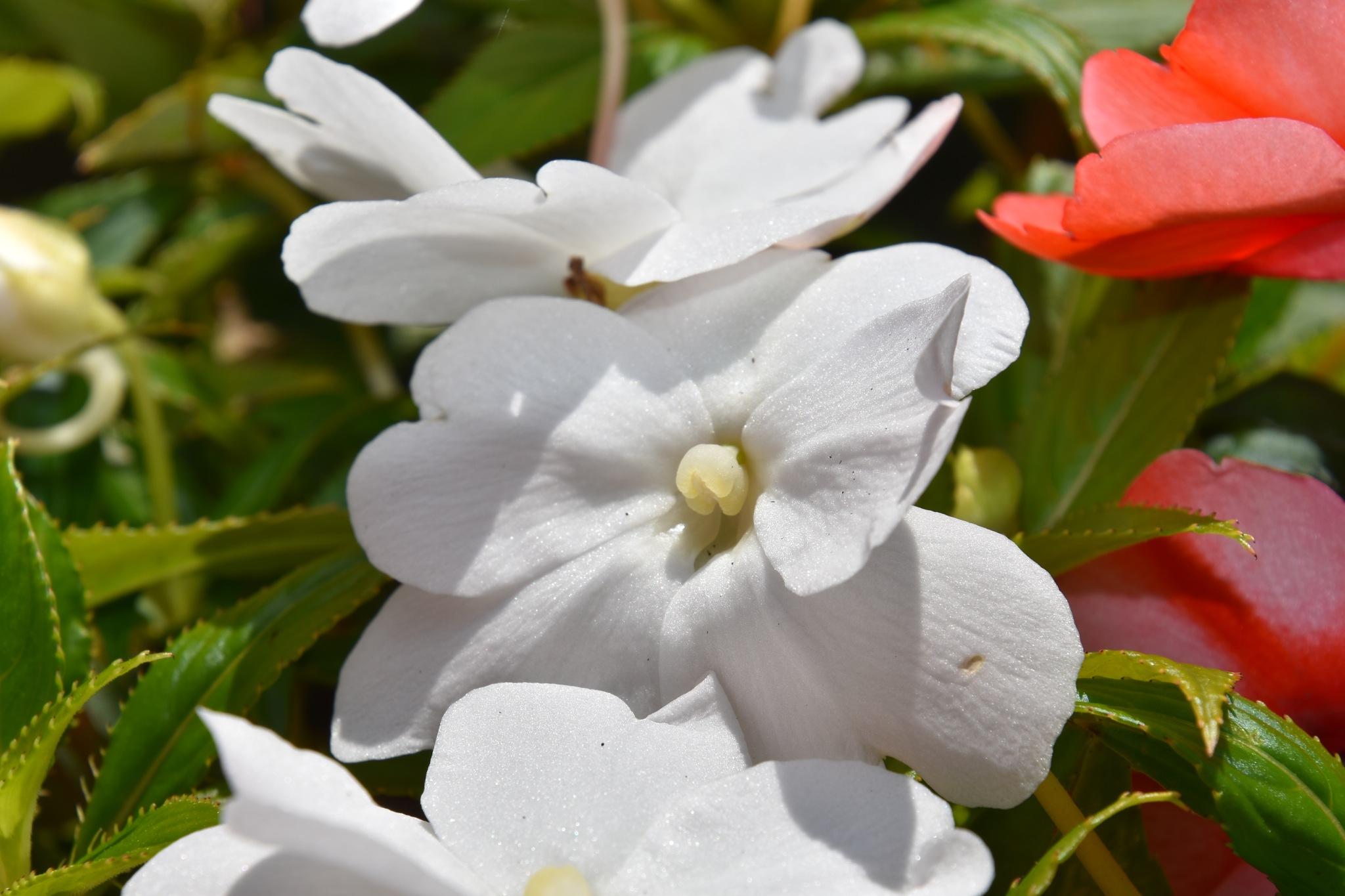 Weiße Petunienblüten by Michael Kraemer