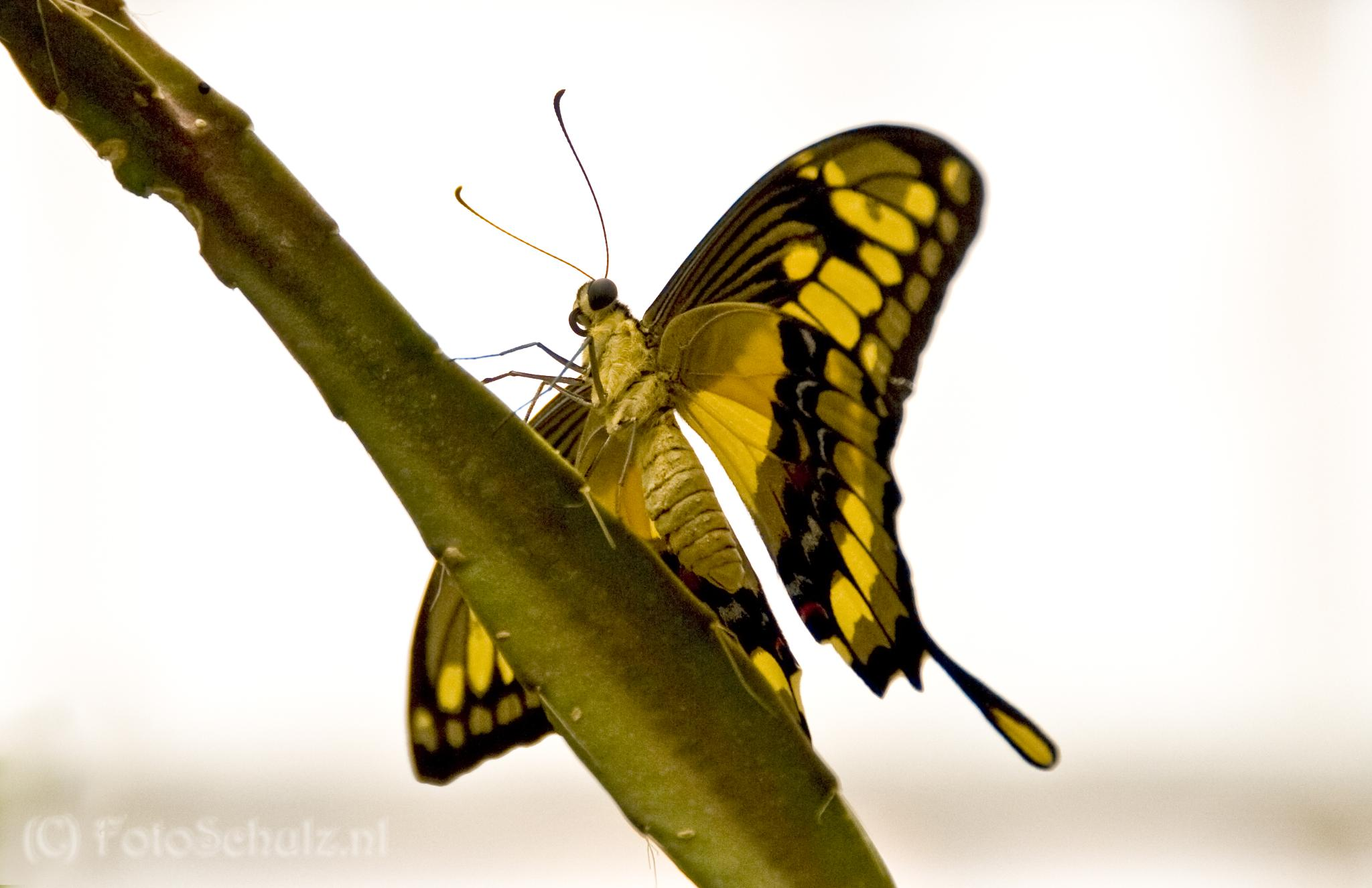 Swallowtail by helga.schulz.92