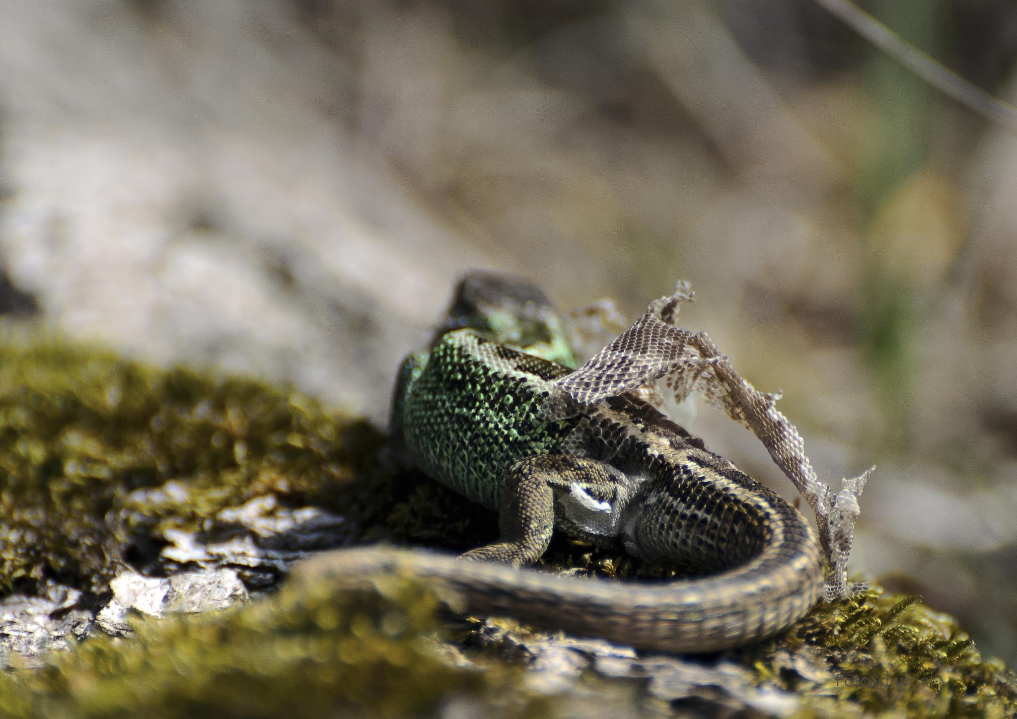 Green Salamander by helga.schulz.92
