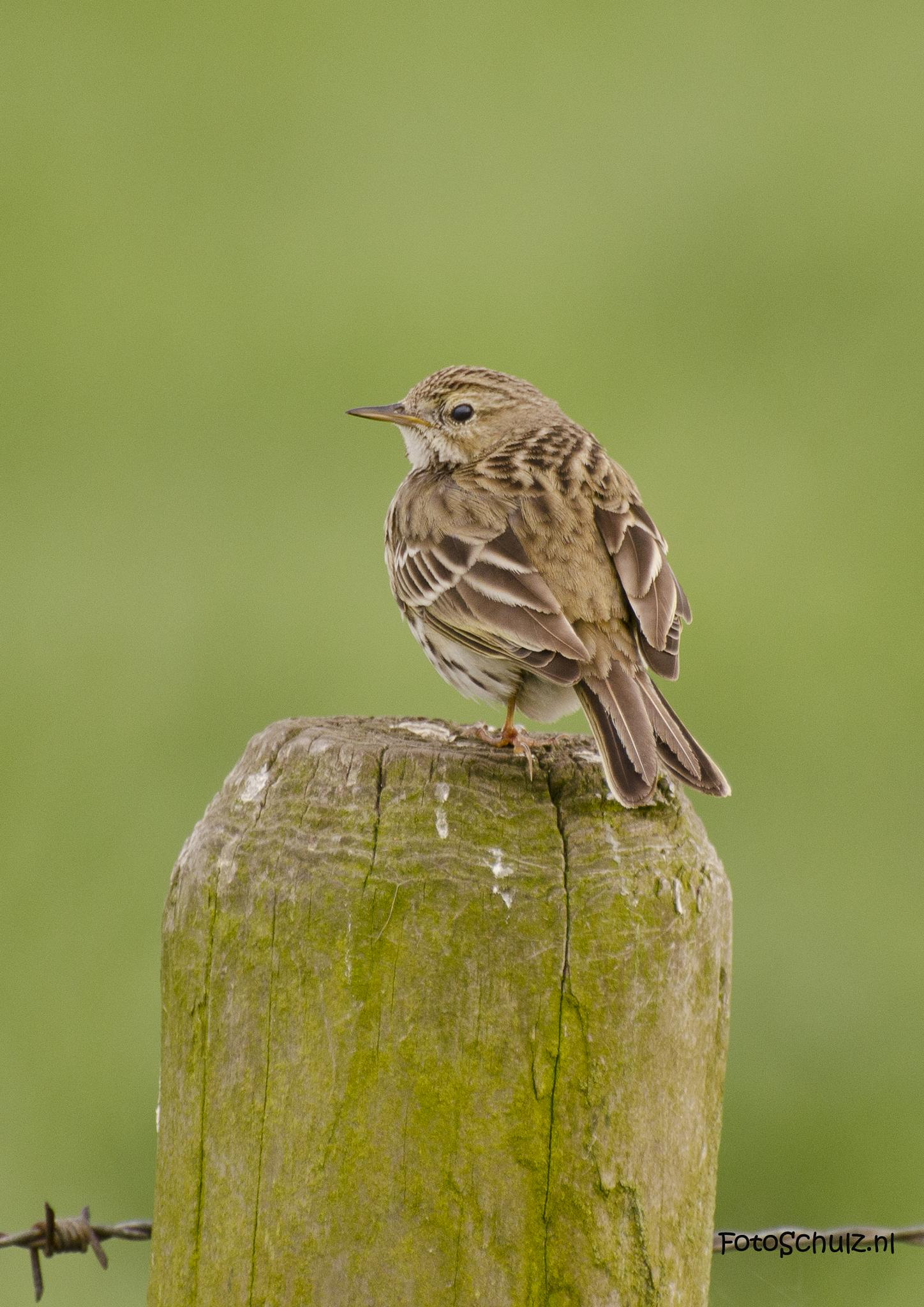 Meadow pipit by helga.schulz.92