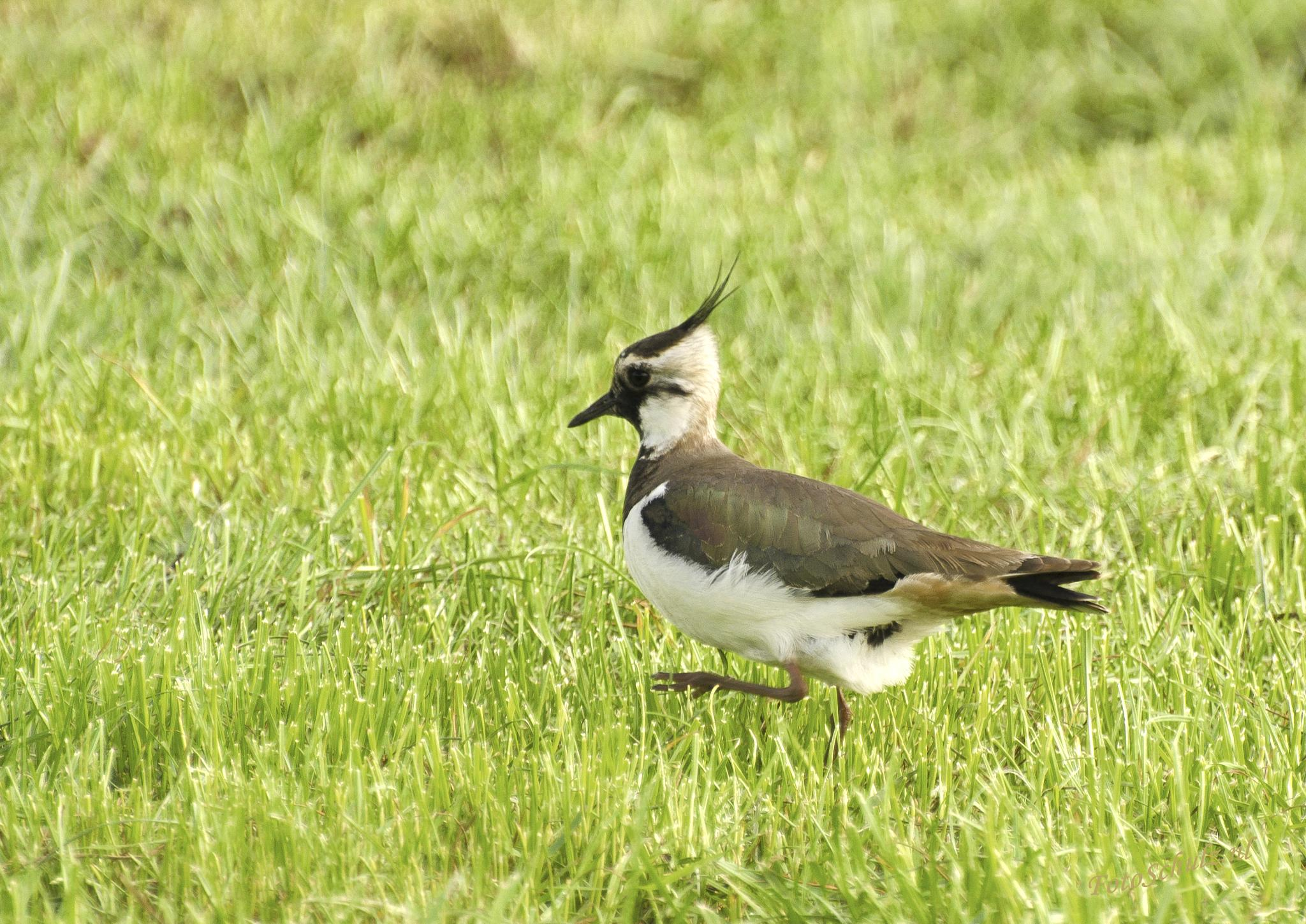 Northern Lapwing by helga.schulz.92