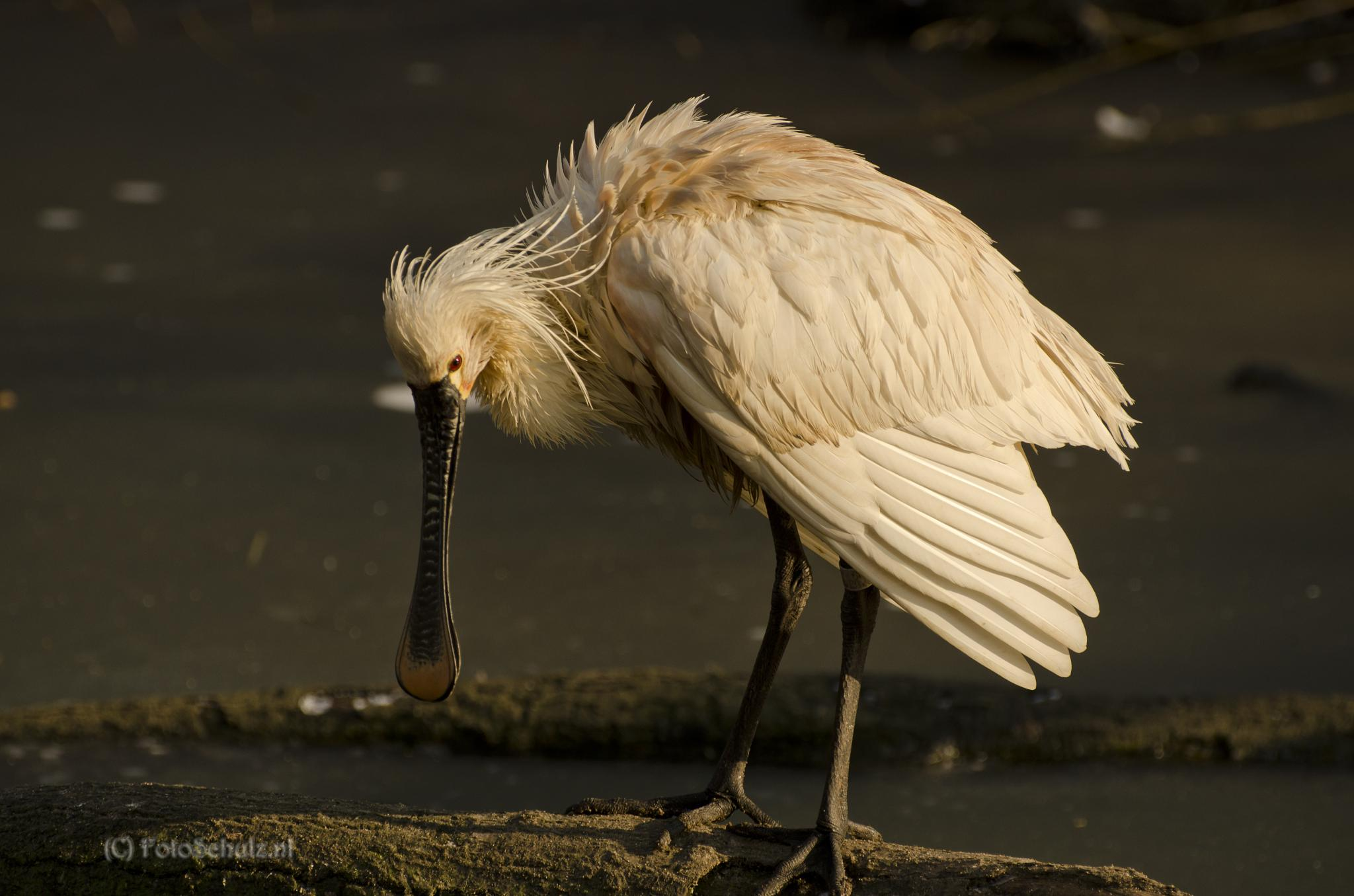 Photo in Animal #eurasian spoonbill #lepelaar #zonsondergand #animal #nature #random