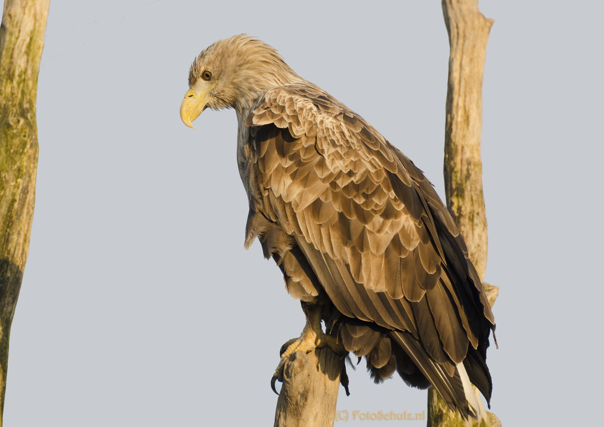 White tailed eagle  by helga.schulz.92