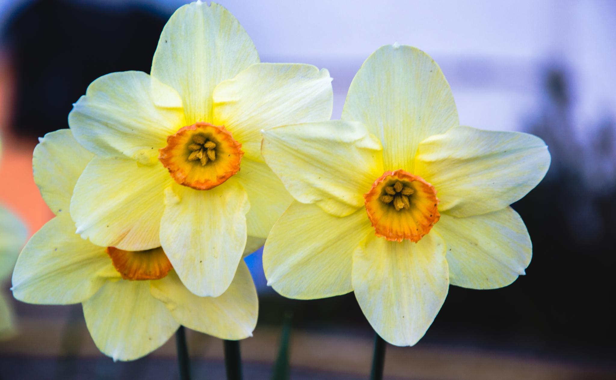 yellow flower by Josip Krizanic