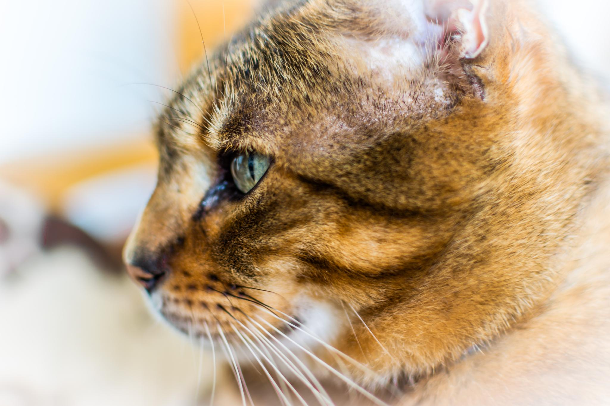 Afghan cat side profile by Andrew Dalgarno