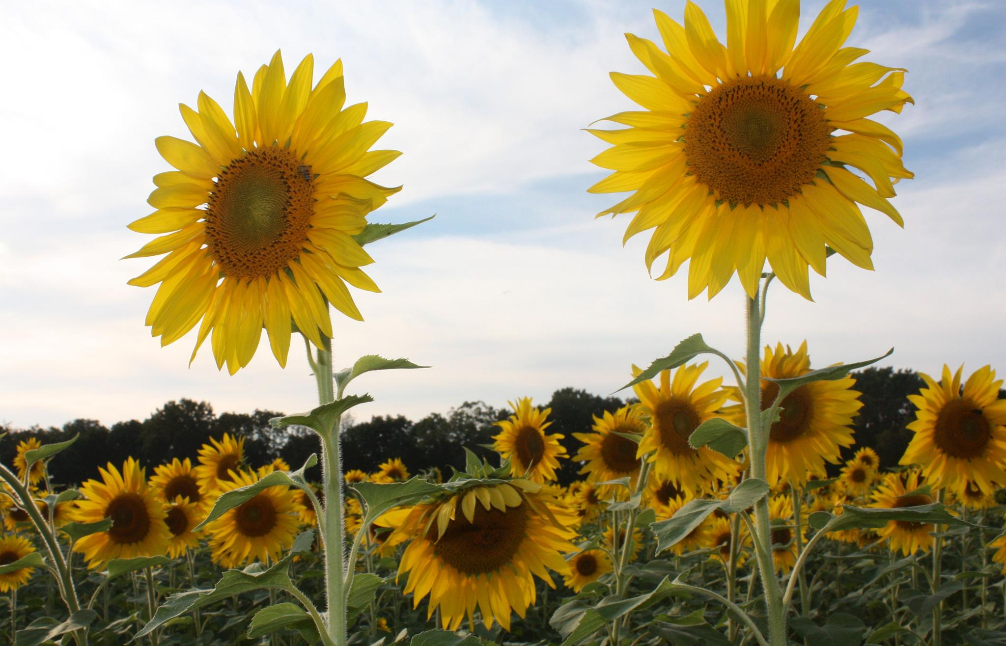 Sunny Sun Flowers:  Lookouts by joanne.chicco