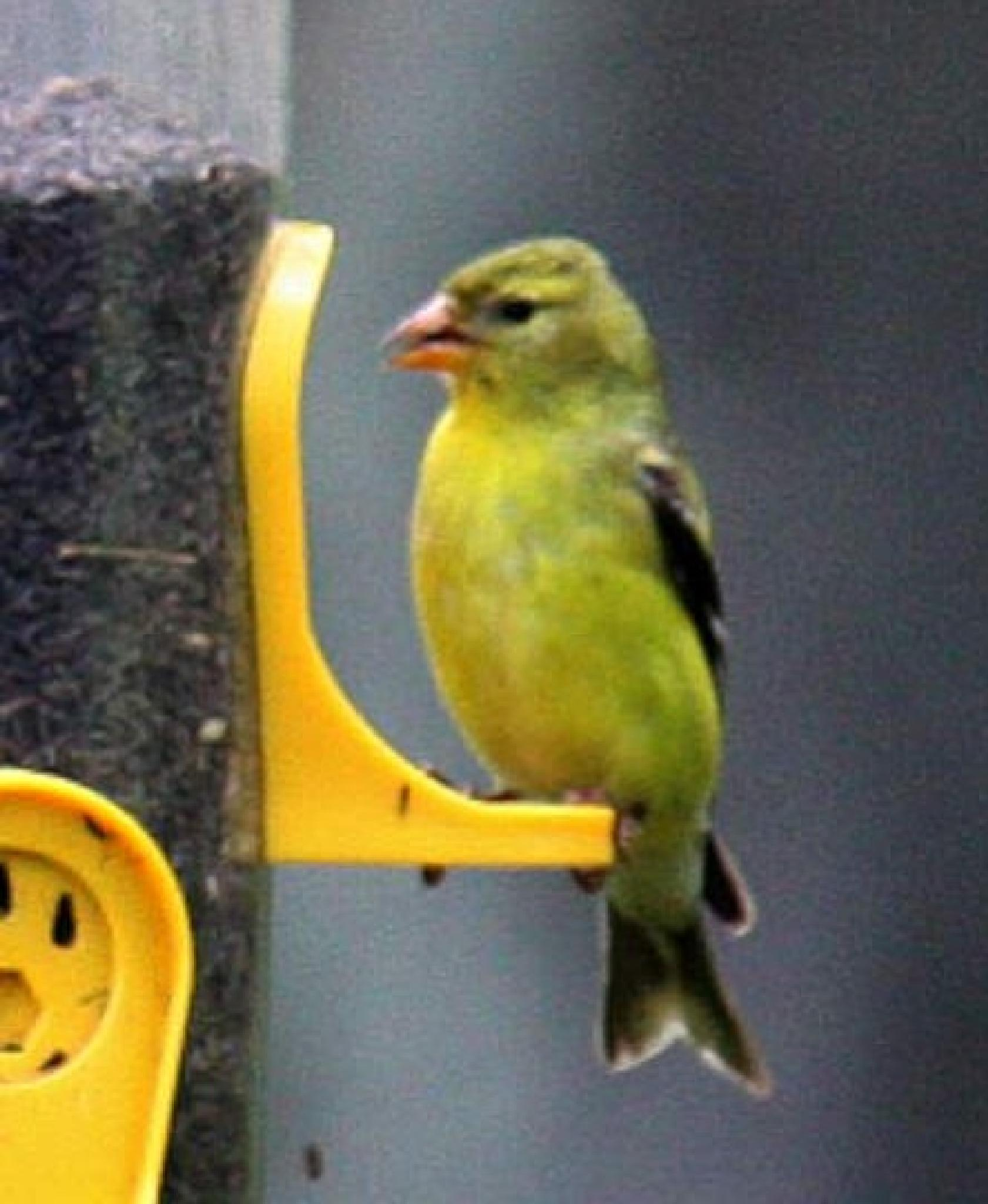 Finch? by joanne.chicco