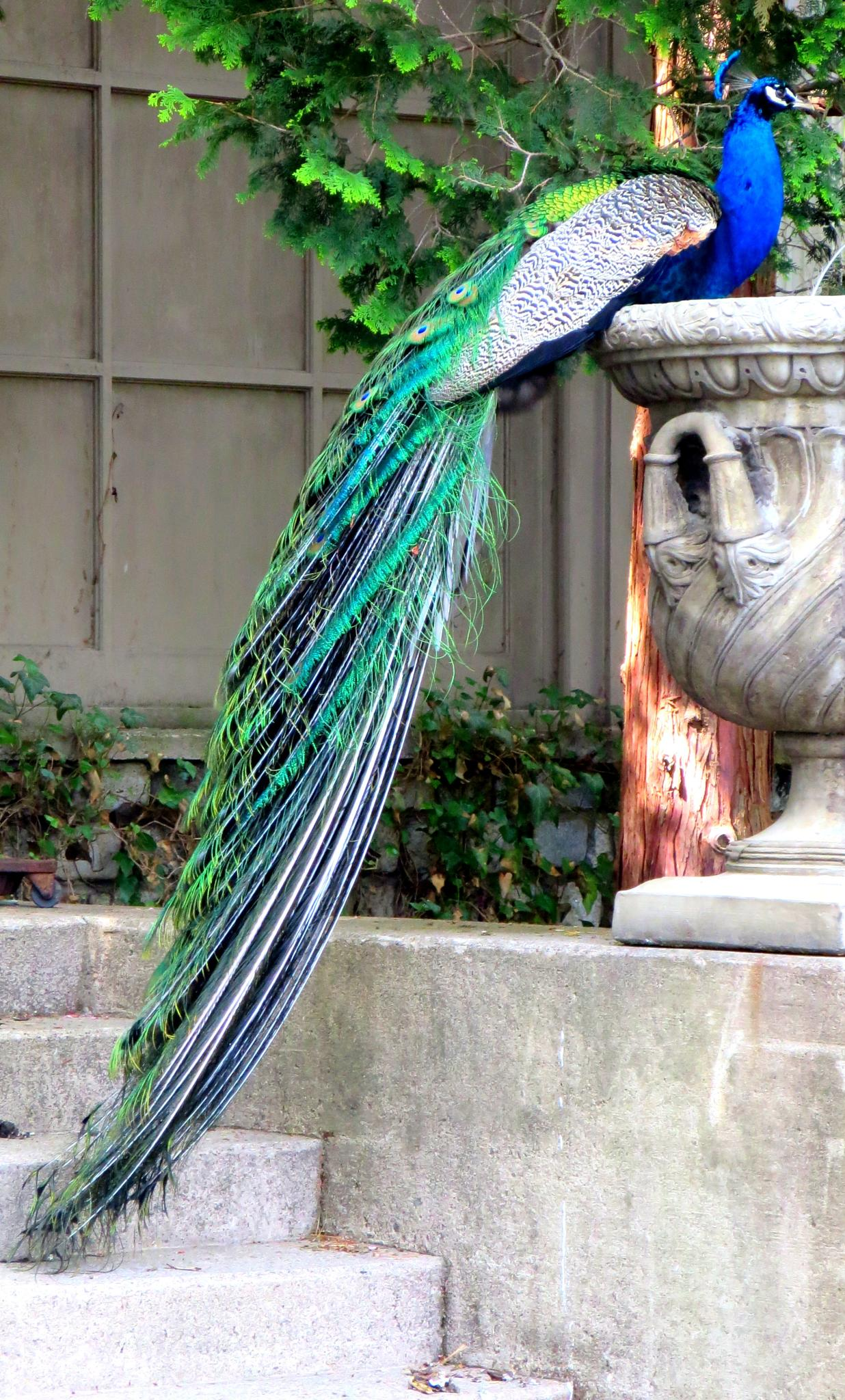 Peacock by victoria.shaudys