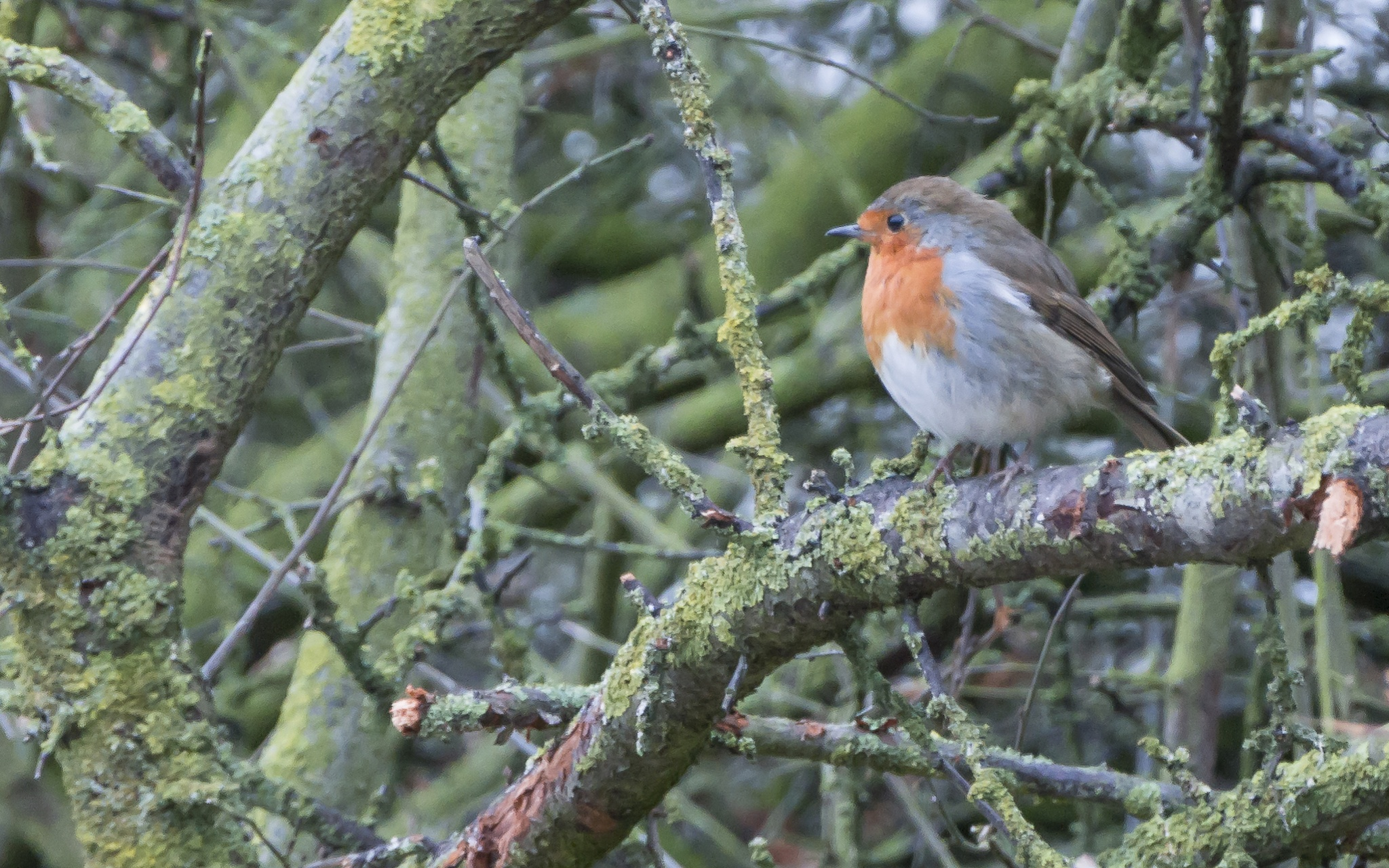 The Robin by kevin.wood.359126