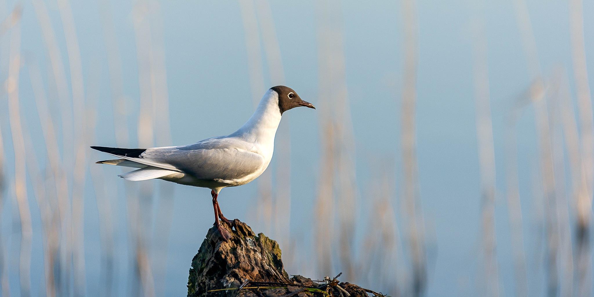 Black head gull by kevin.wood.359126