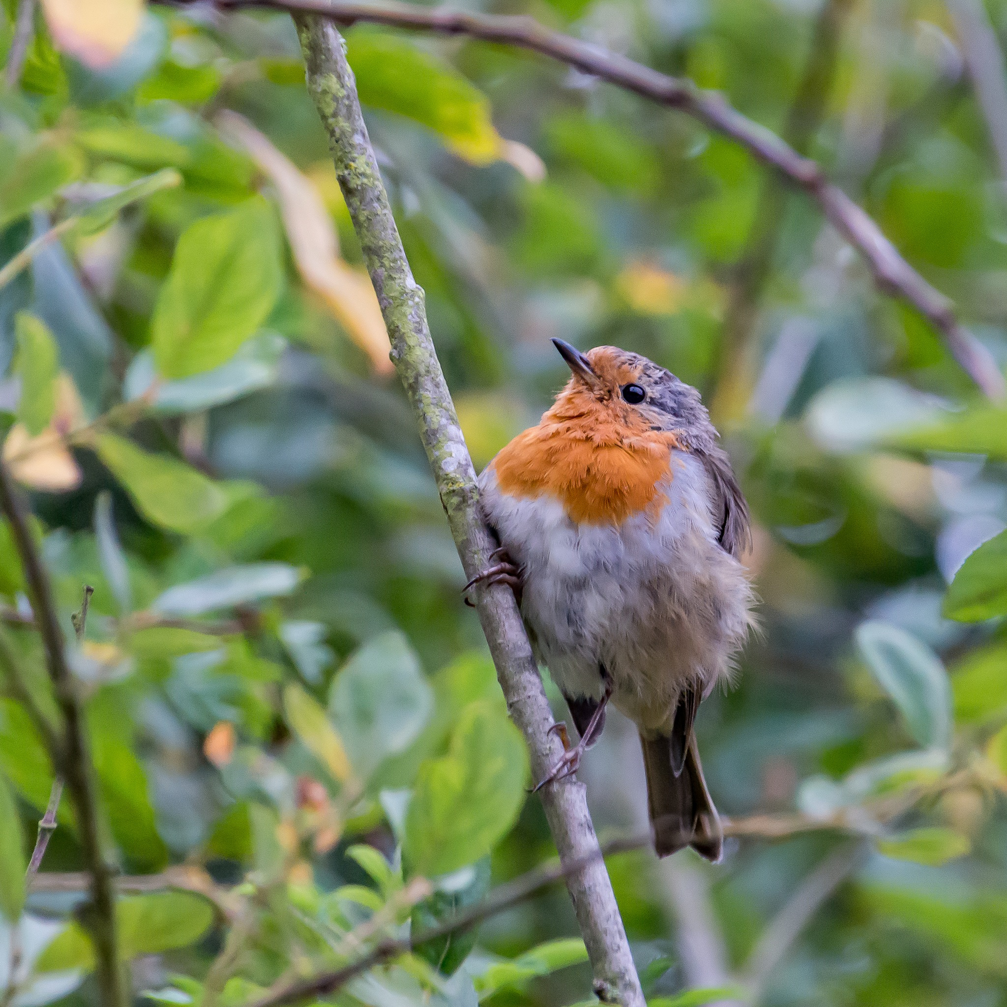 Robin red breast by kevin.wood.359126