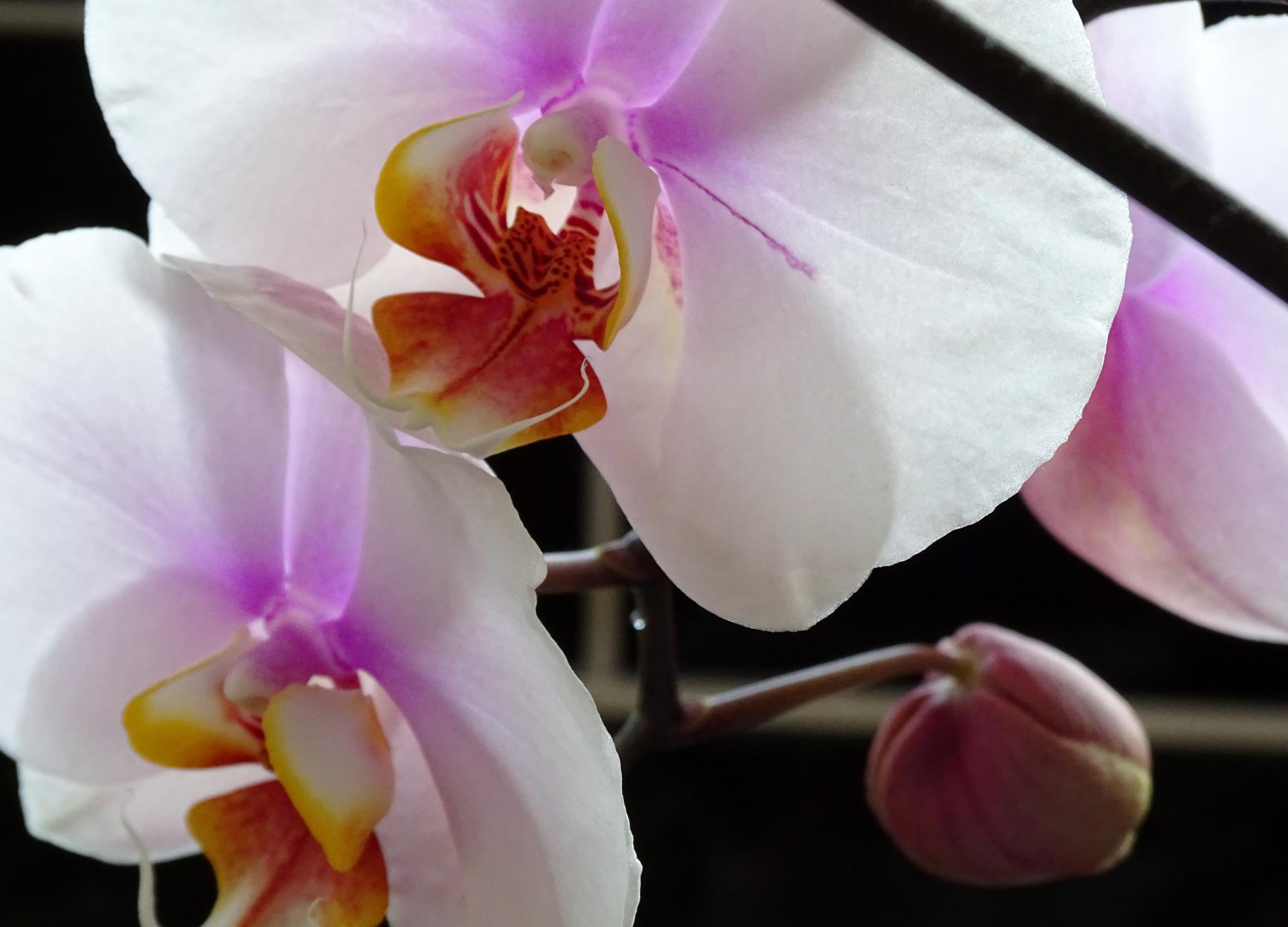 Beauty of the Orchid by Jayne Aveline