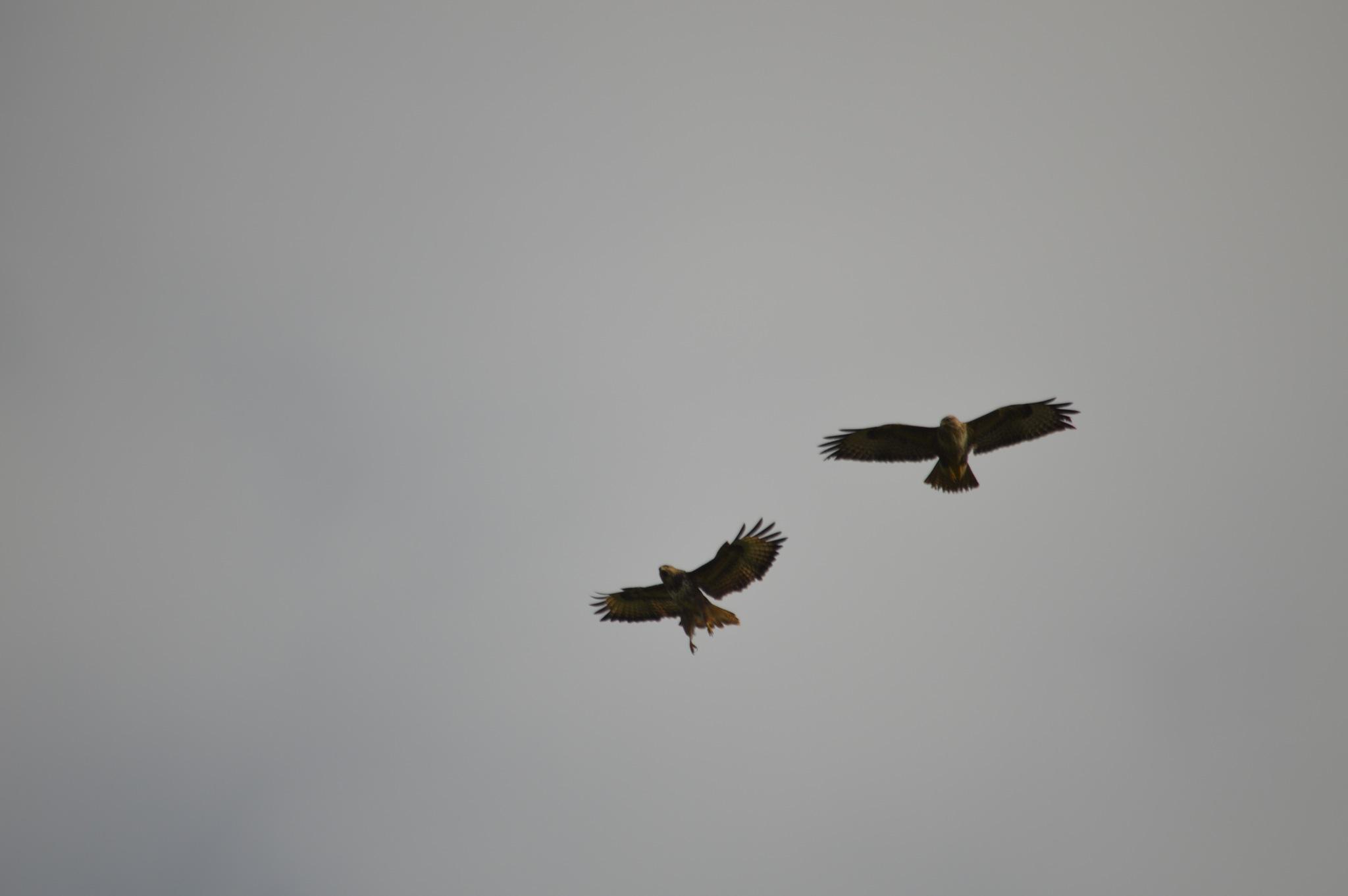 buzzards by adrian.williams.58323